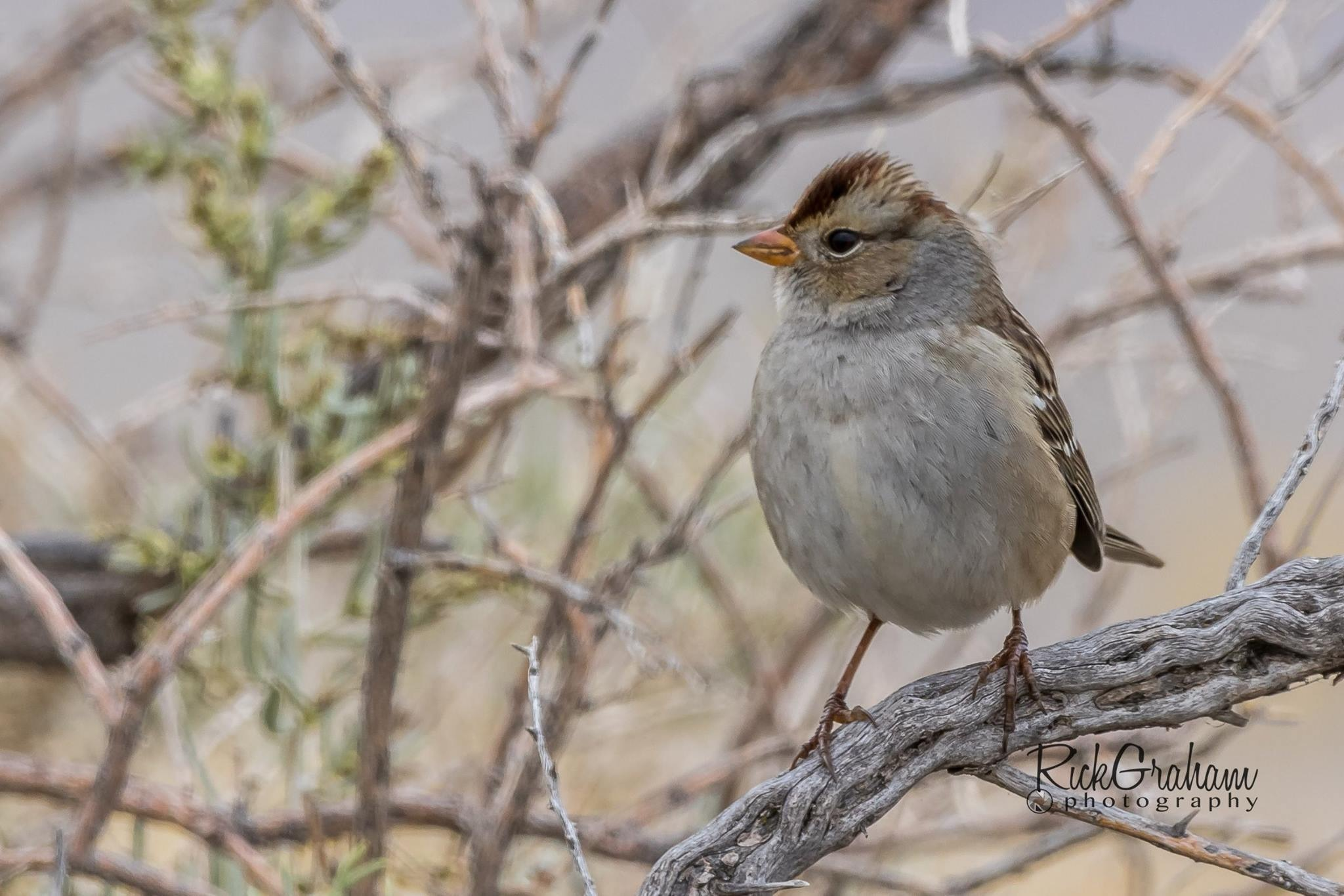 Immature White-crowned Sparrow. Antelope Island, Syracuse, Utah by Rick Graham