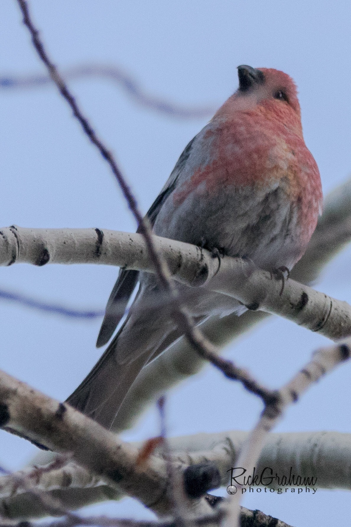 Pine Grosbeak (a lifer). Need to find another one so I can get a better picture. Payson Lake, Payson by Rick Graham