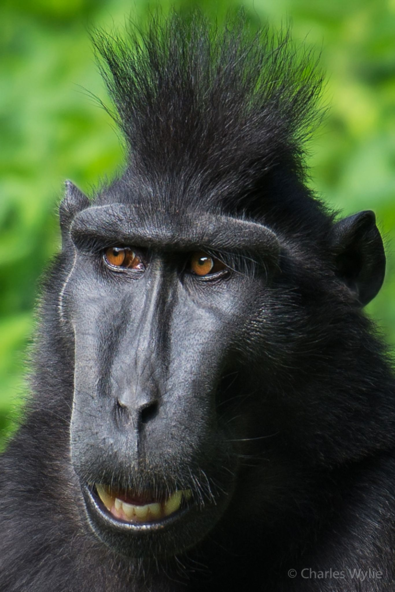 Black Crested Macaque @ Durrell Wildlife Conservation Trust by Charlie Wylie