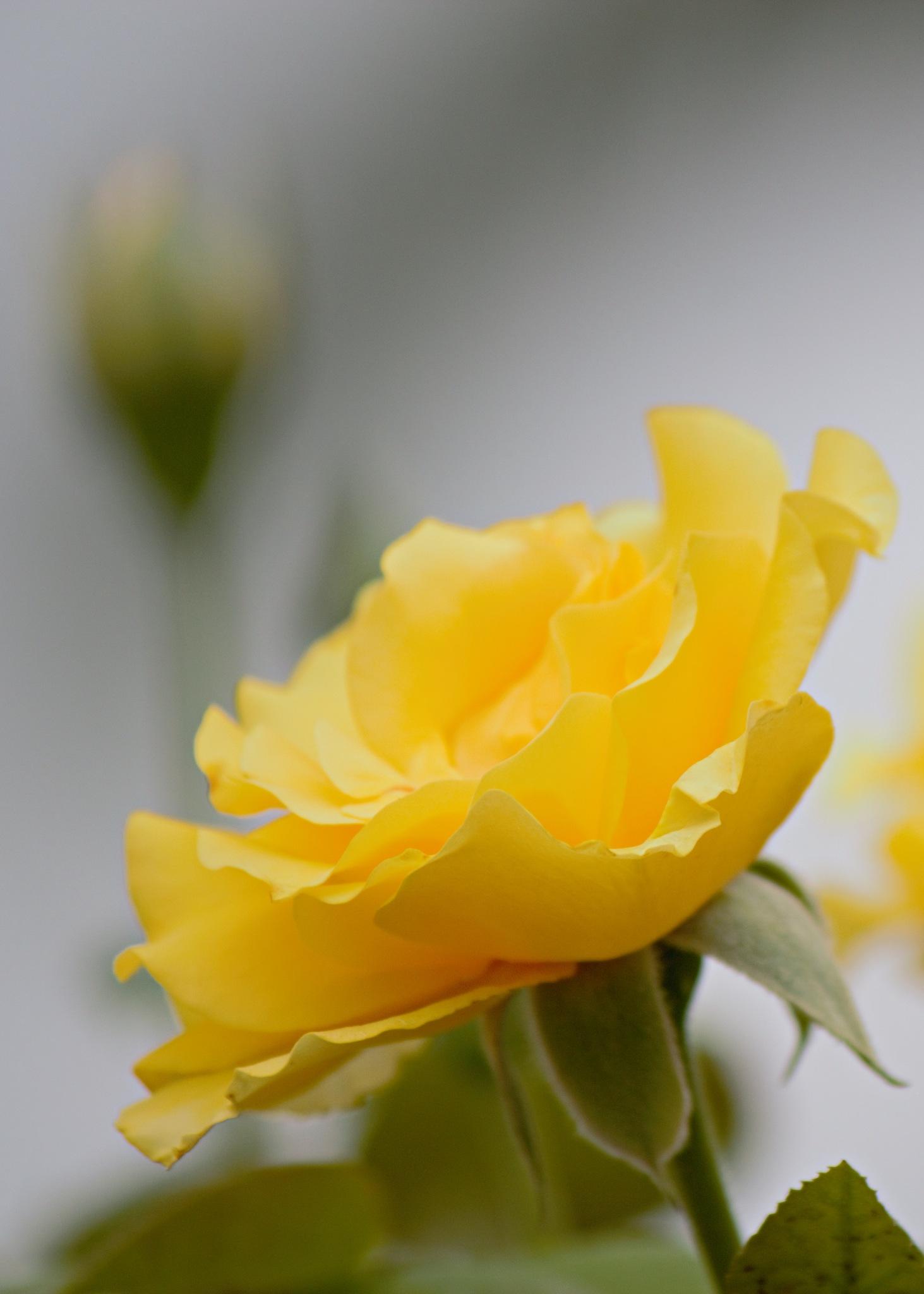 Yellow Rose by Jason Perez