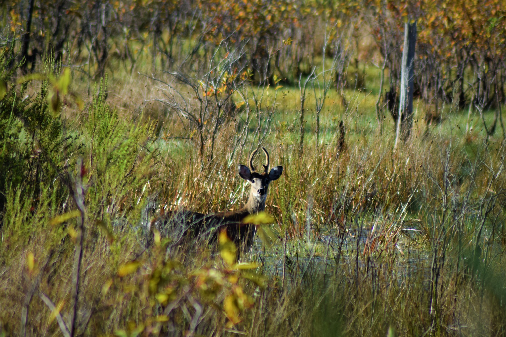 Swamp Buck by Frank Dunford
