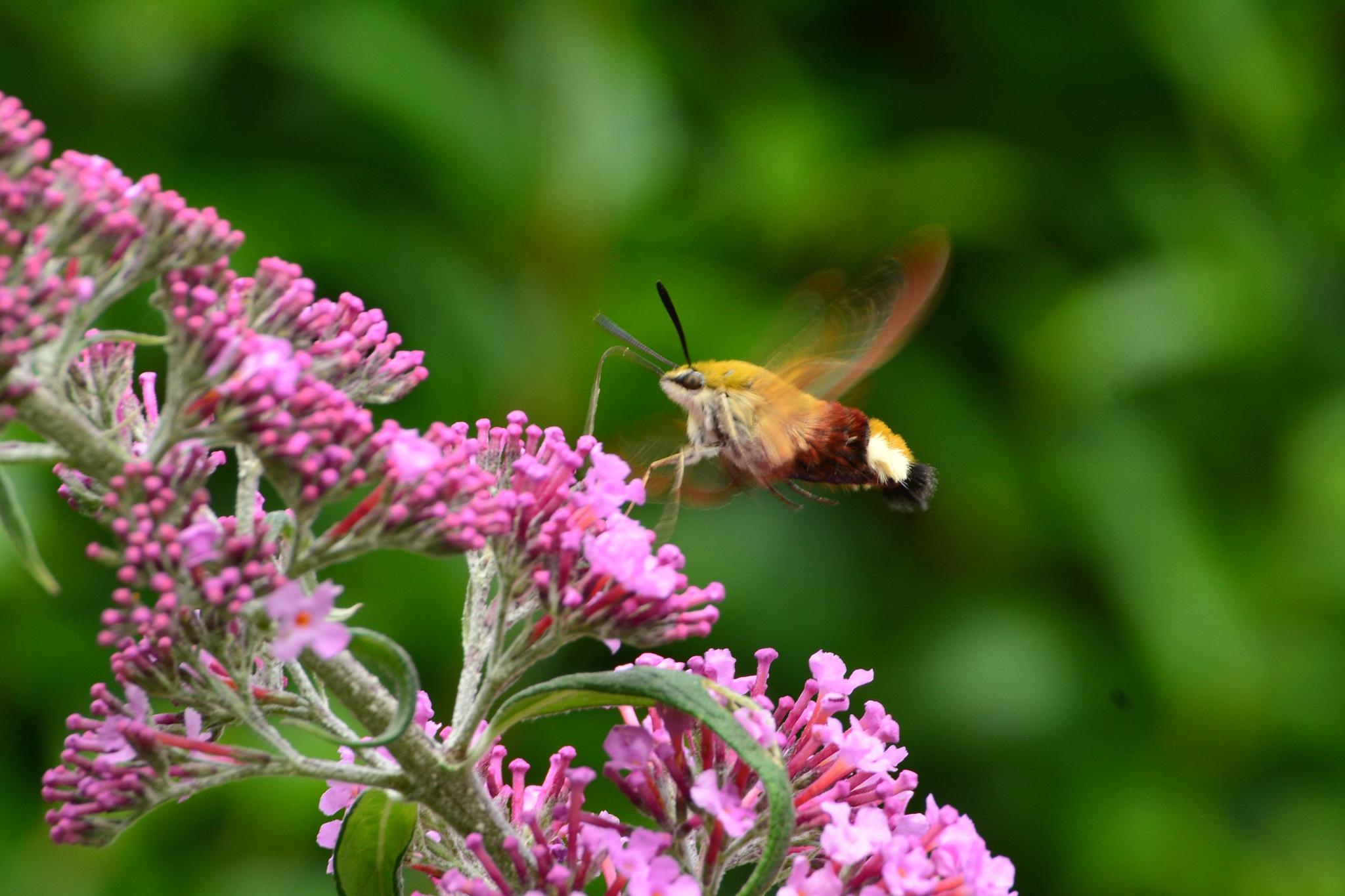 Hummingsbird butterfly by Simone Zeeuws
