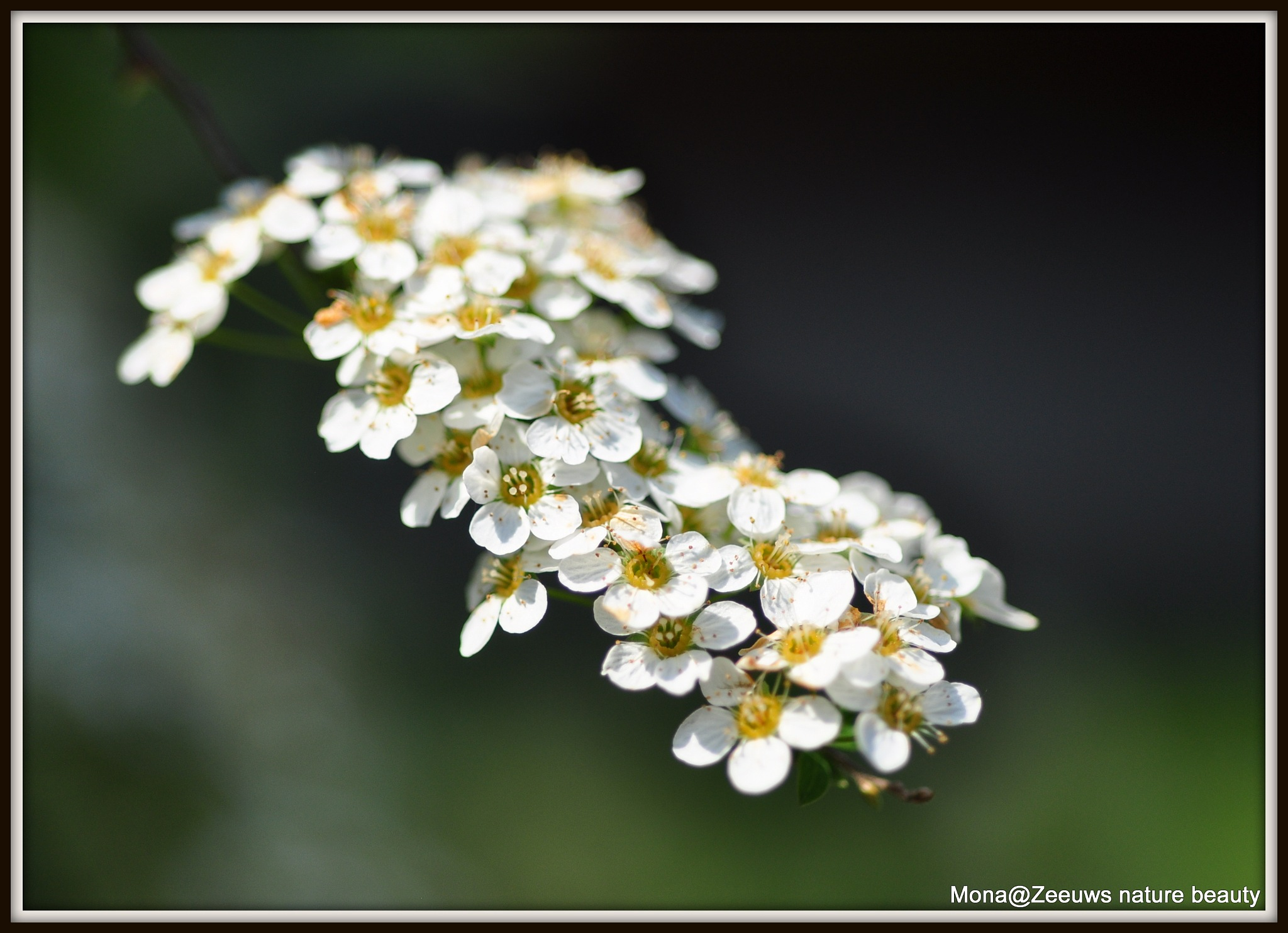 Spirea in bloom by Simone Zeeuws