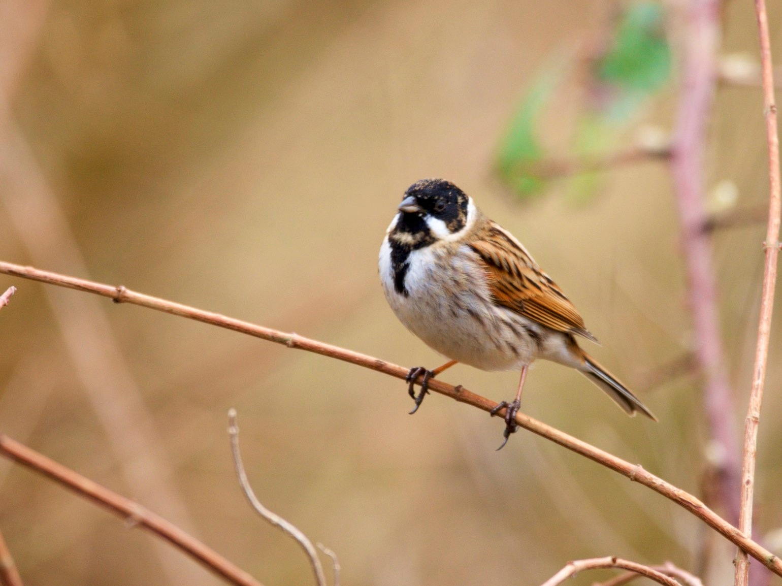 reed bunting by richard