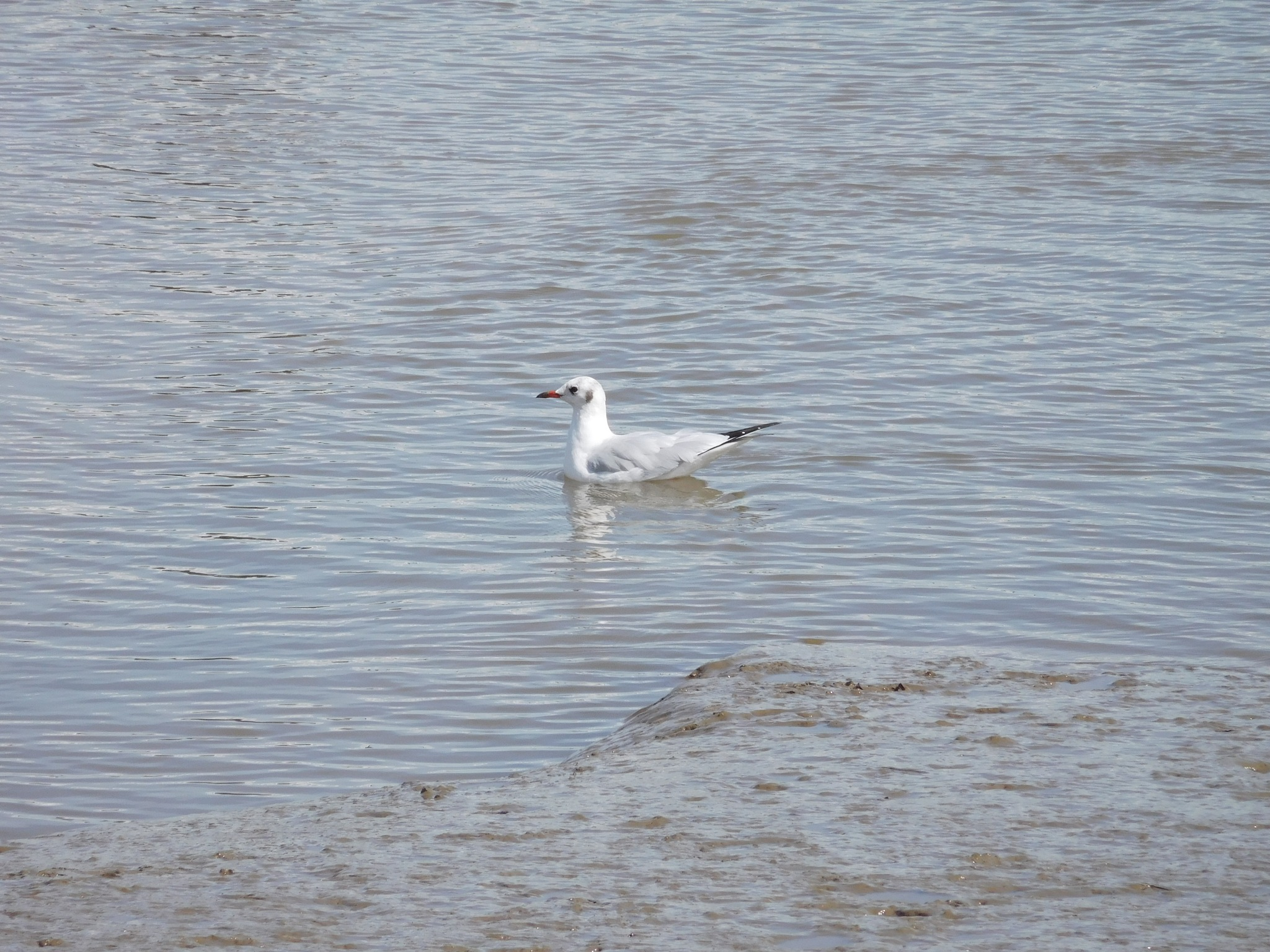 Seagull by Luso