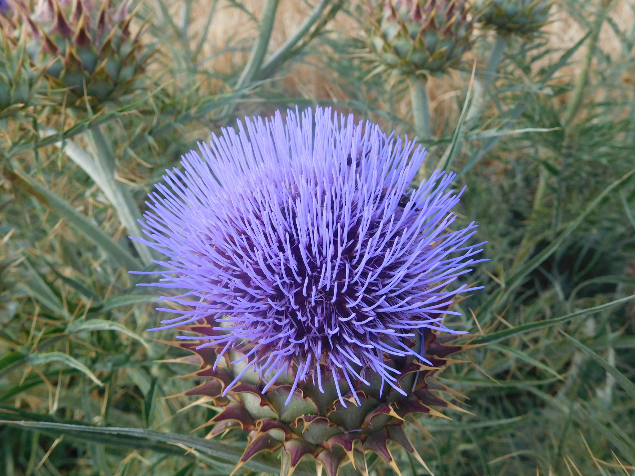 Thistle by Luso
