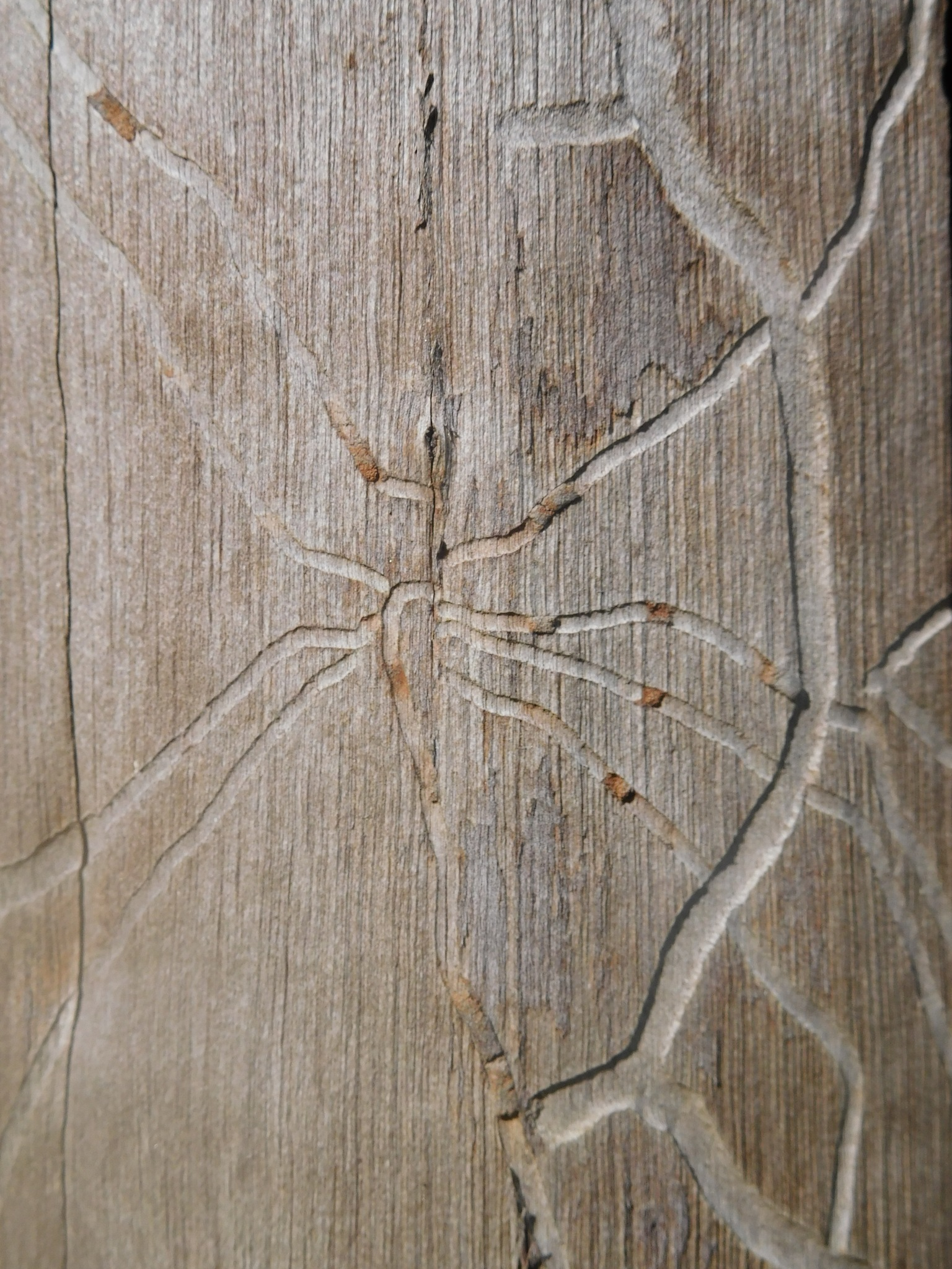 Wood bug marks by Luso