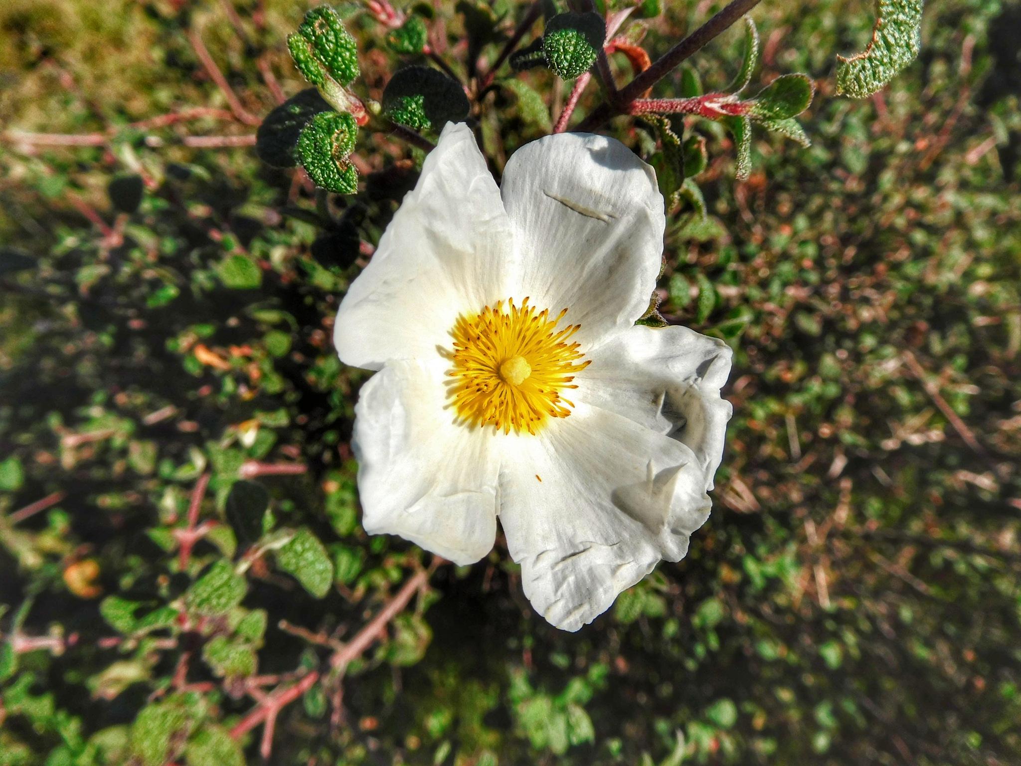 Wild flower by Luso
