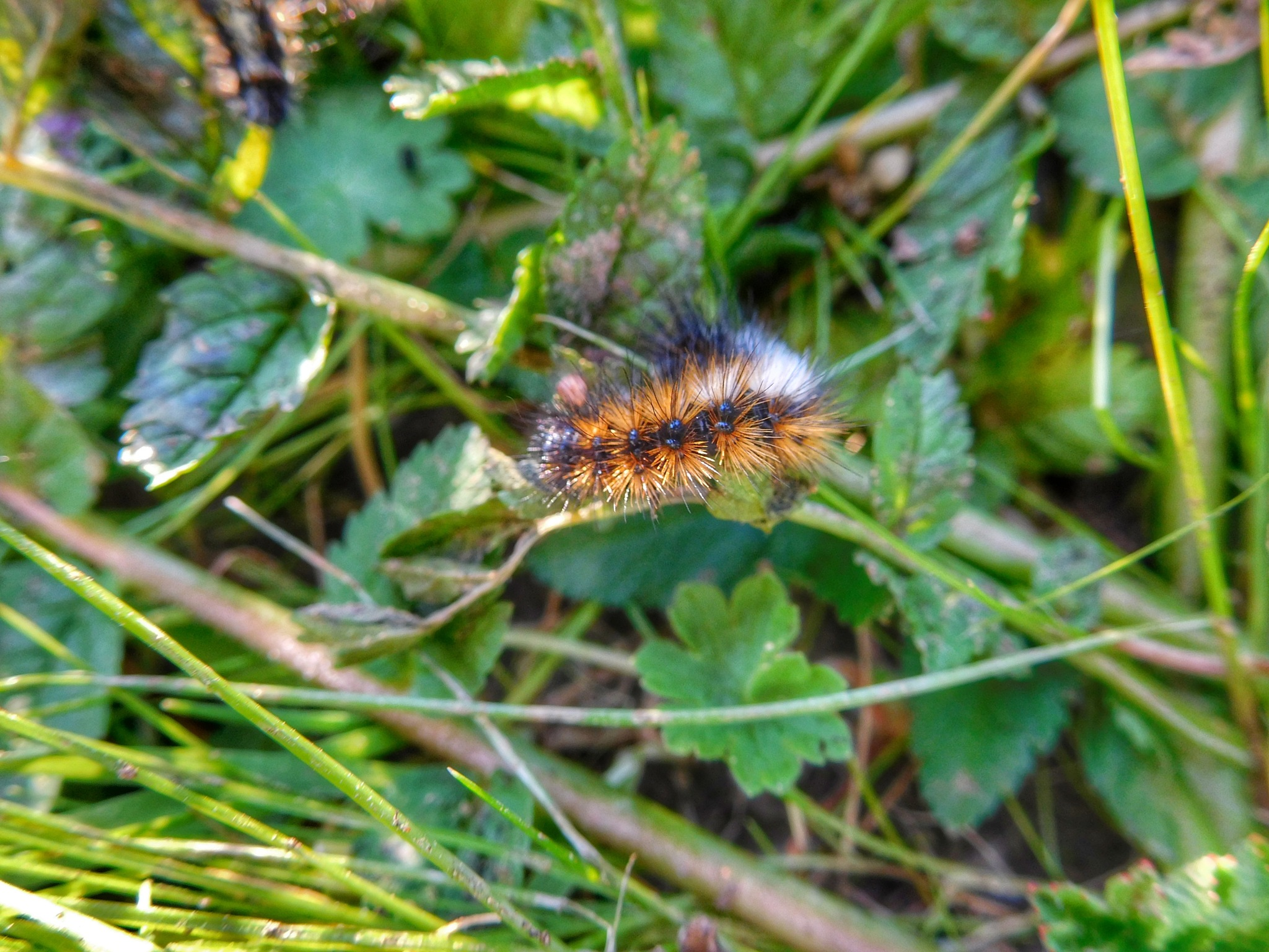 Caterpillar by Luso