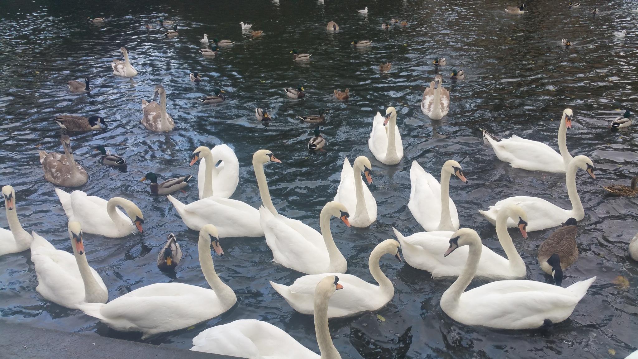 Swan by Eman M D