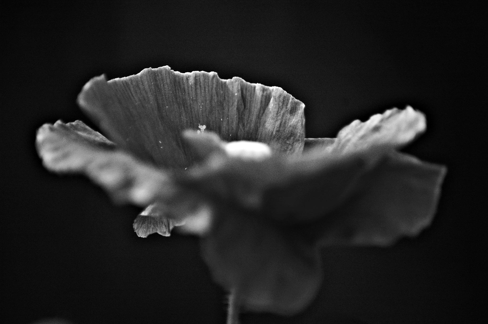 poppy by Ann-sofie Fredriksson