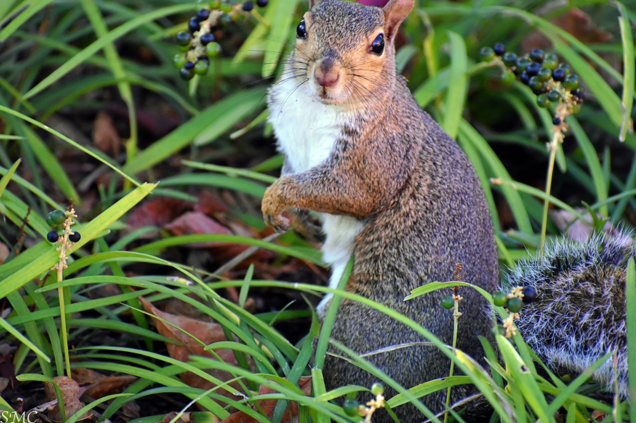 Cover Squirrel by Sarah Cochran