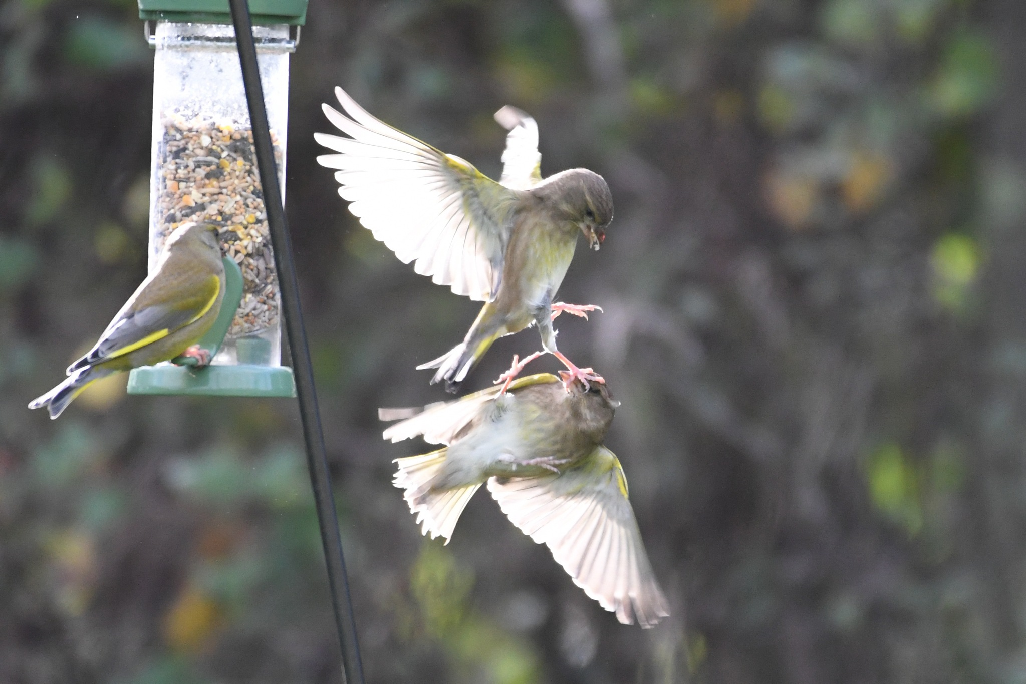 Greenfinches arguing over dinner by Chris Aspital