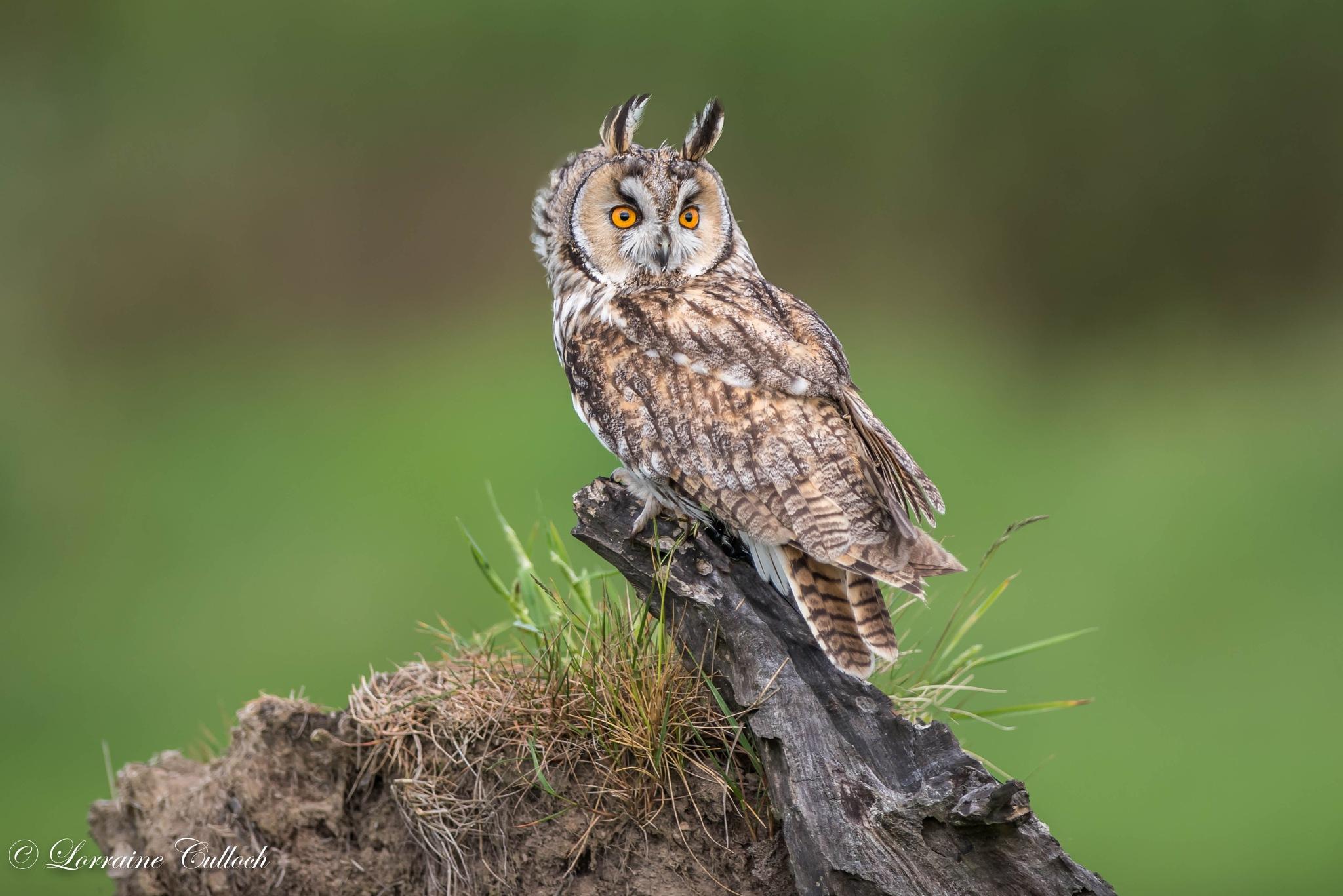 Long eared Owl by Lorraine Culloch