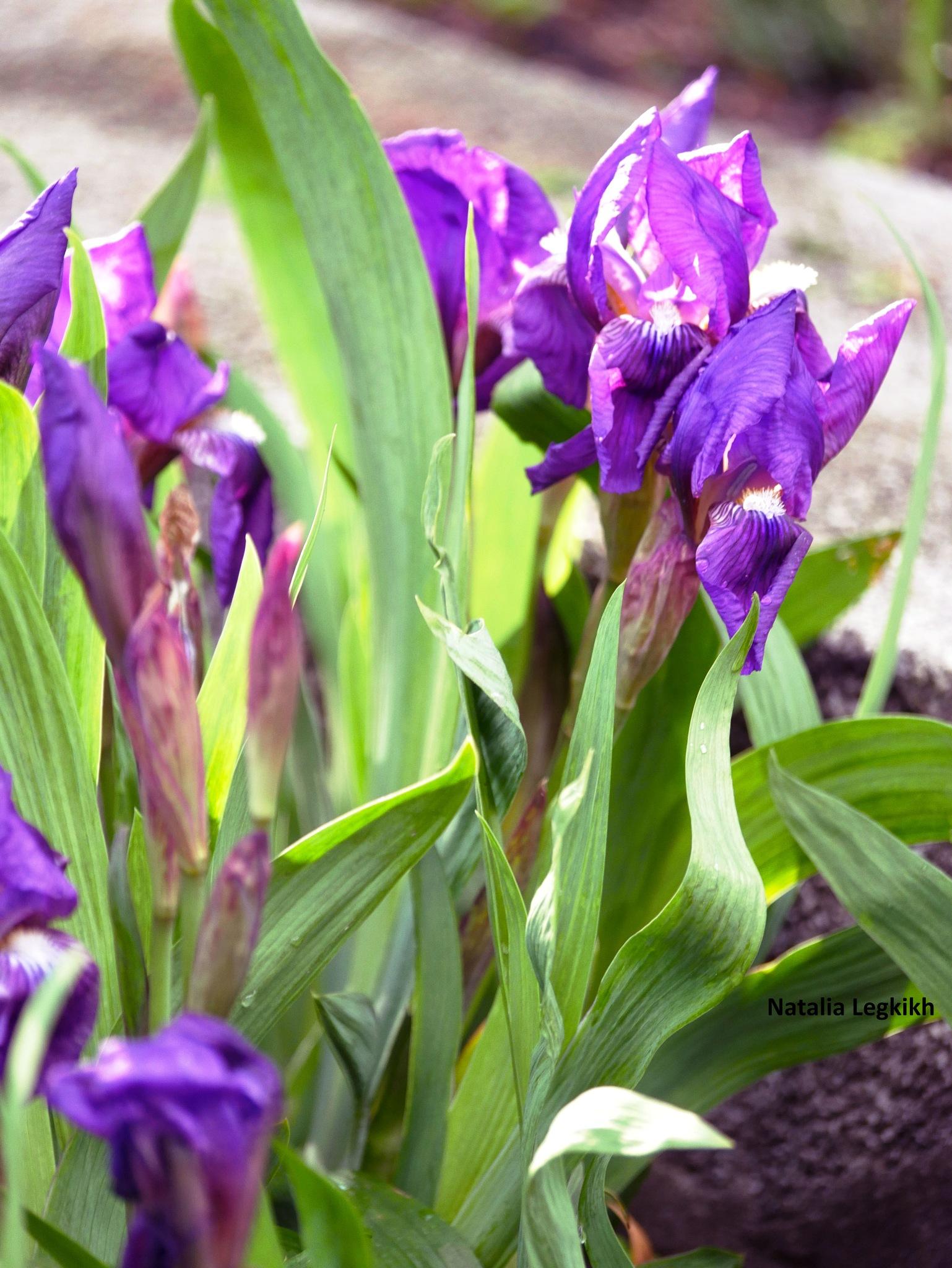 Photo in Nature #iris