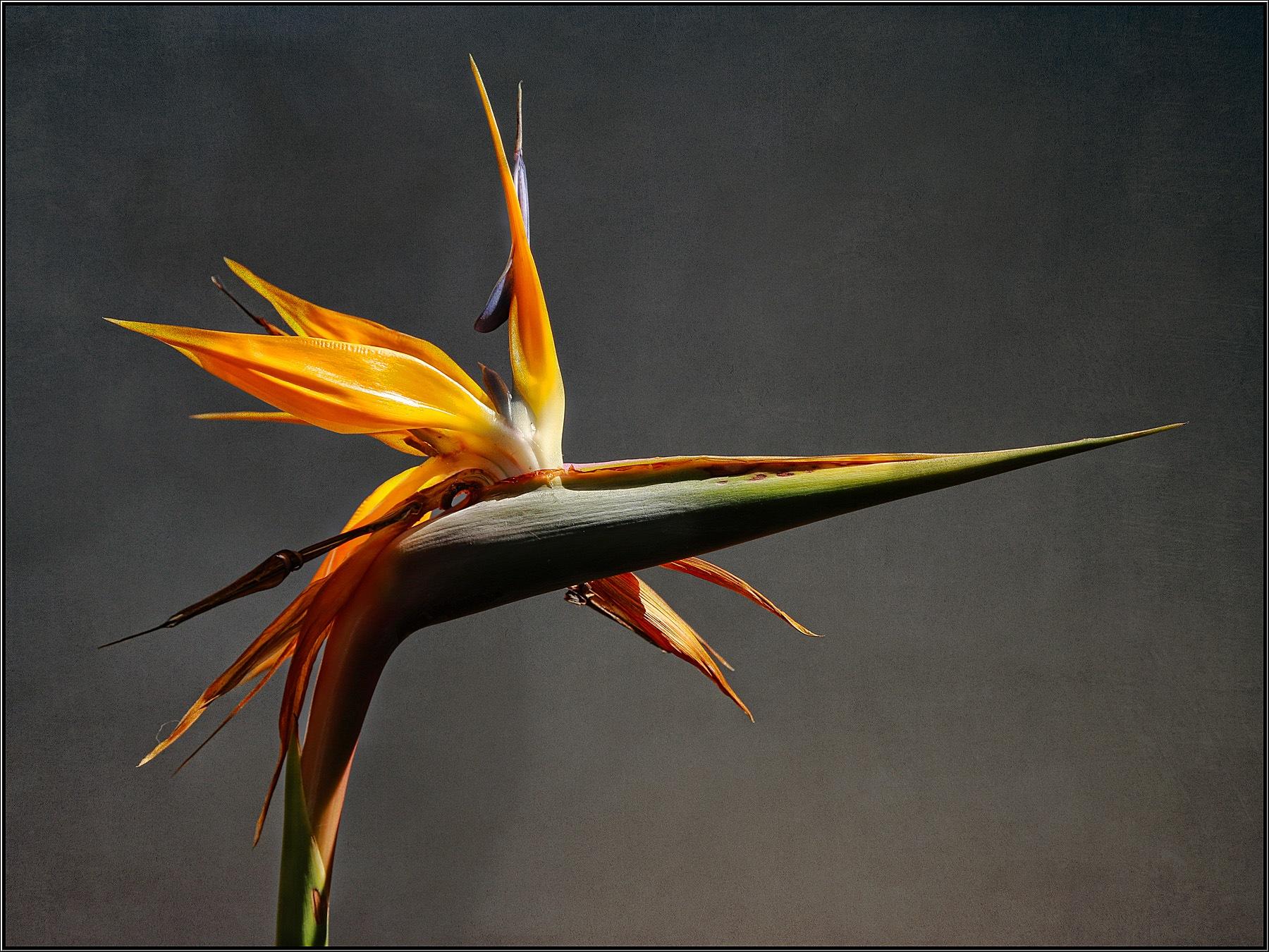 Bird of Paradise by Linda Ruiz