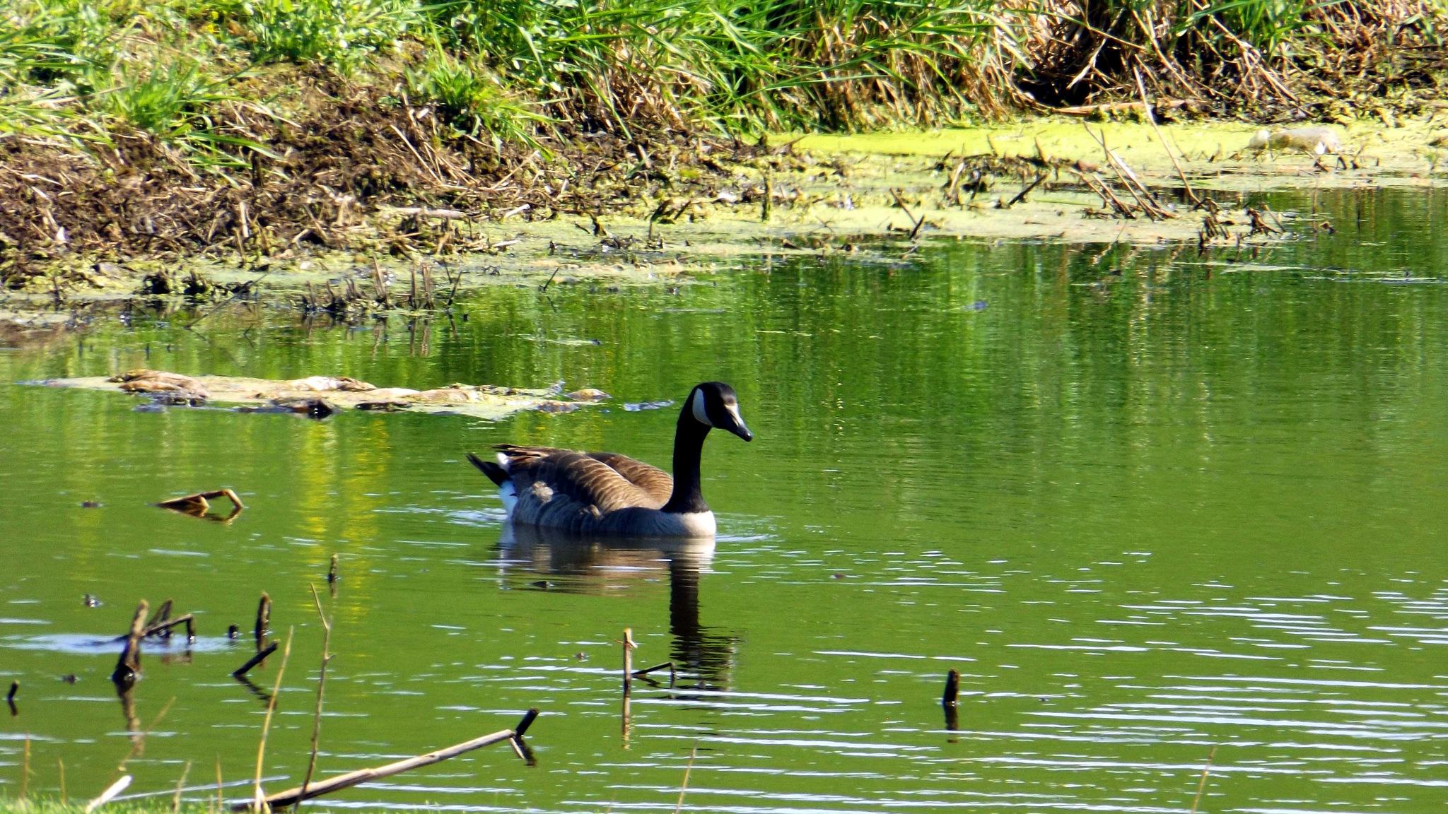 Goose by R@quel