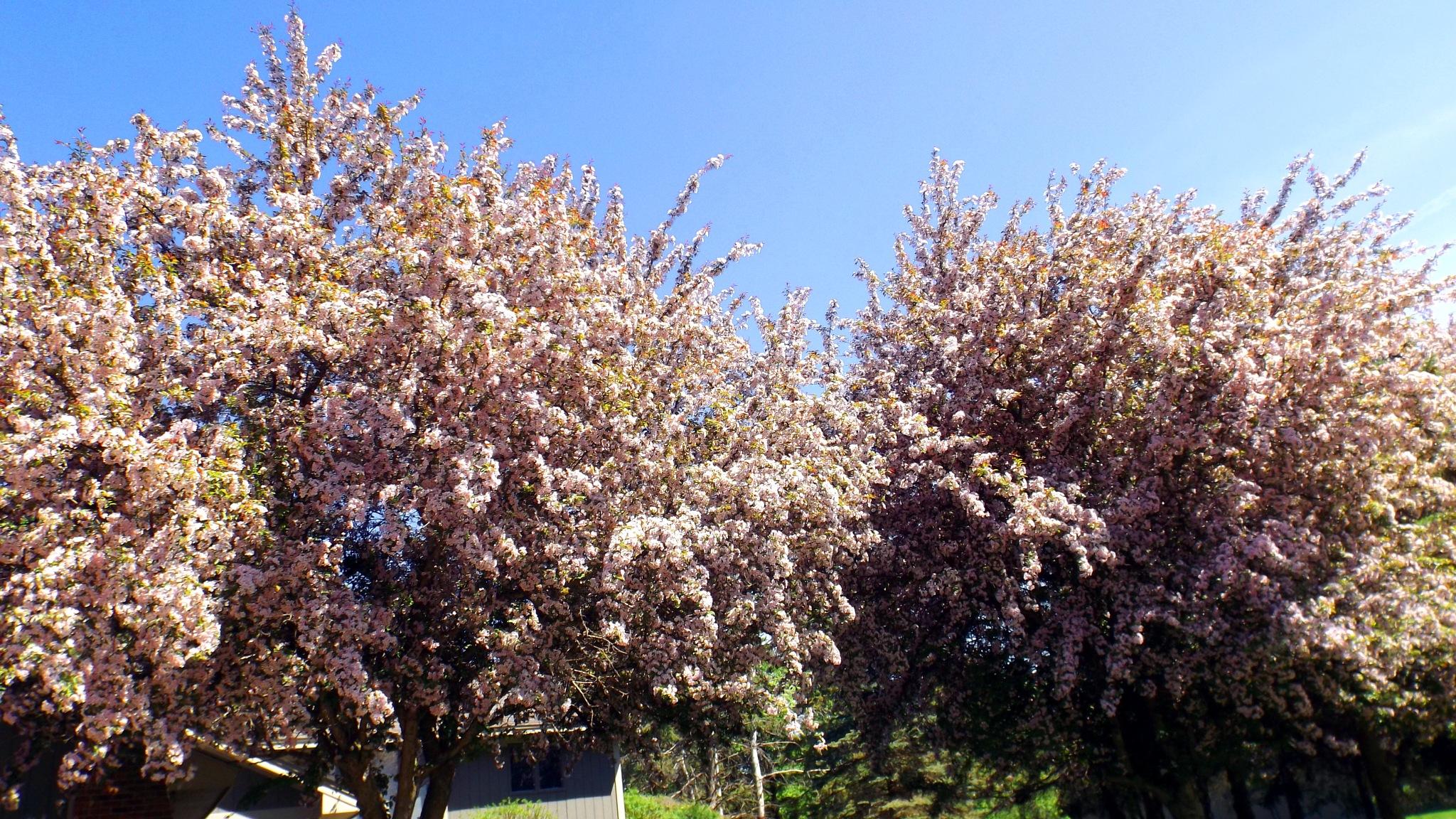 Arvores floridas by R@quel
