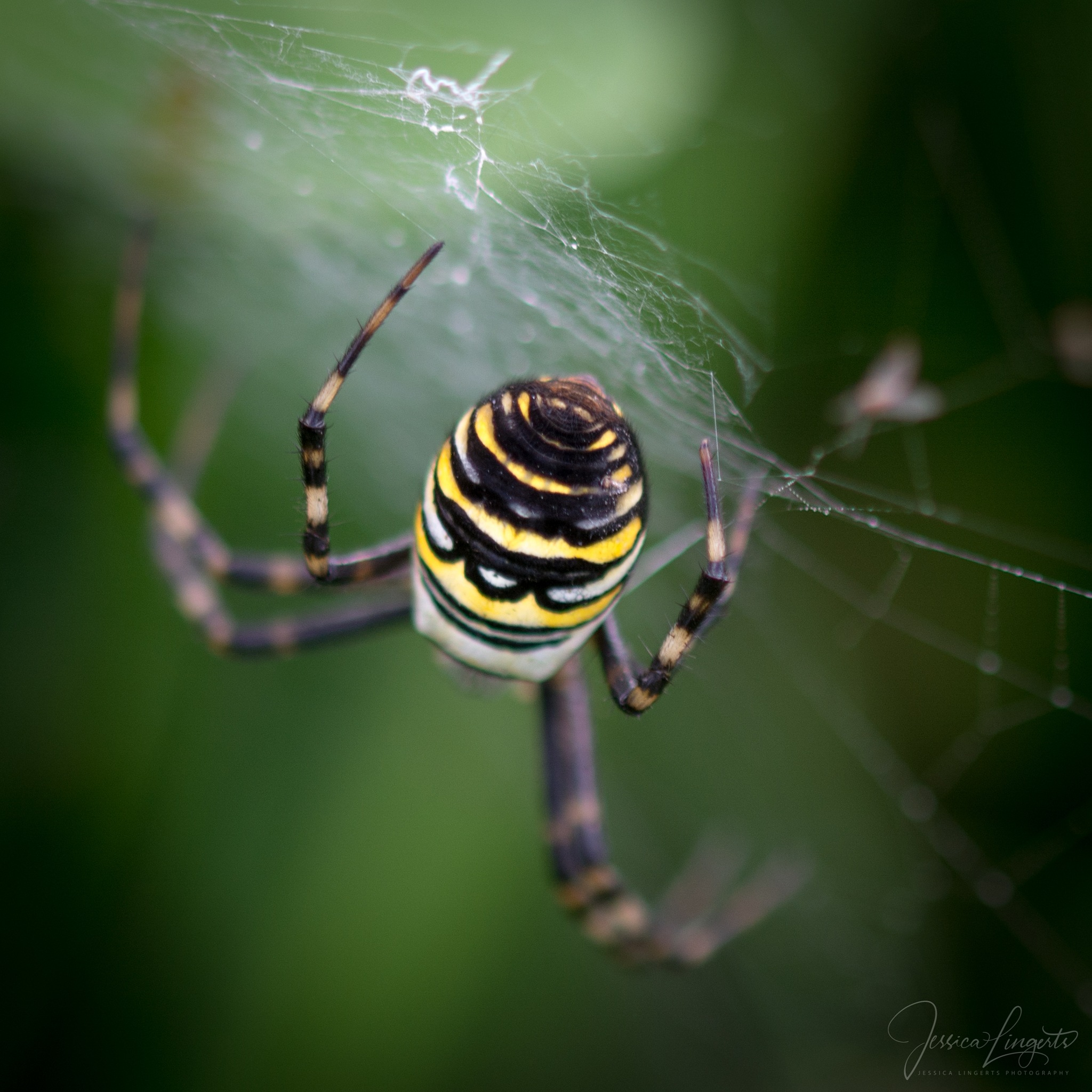 Wasp spider by Jessica Lingerts