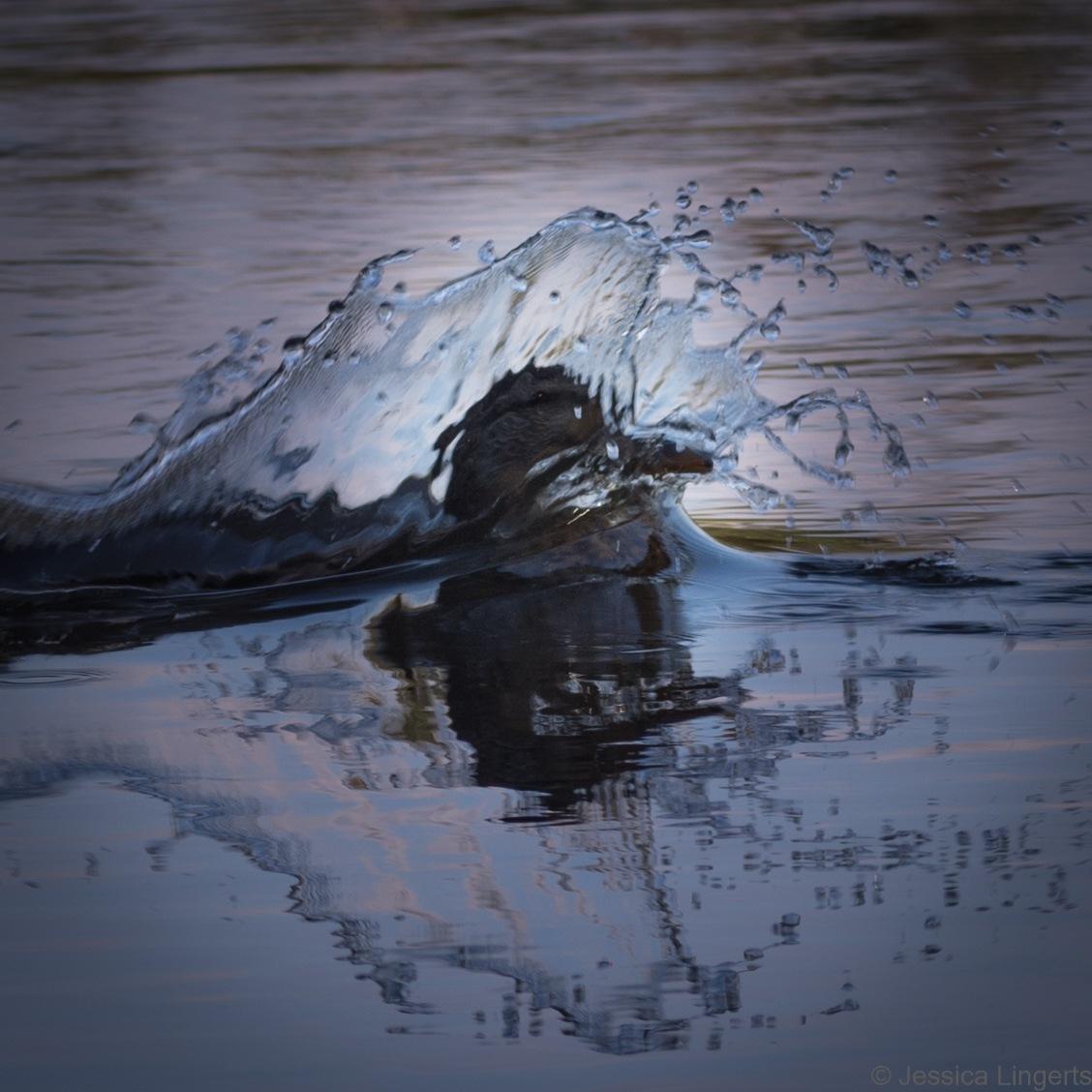 Splash by Jessica Lingerts