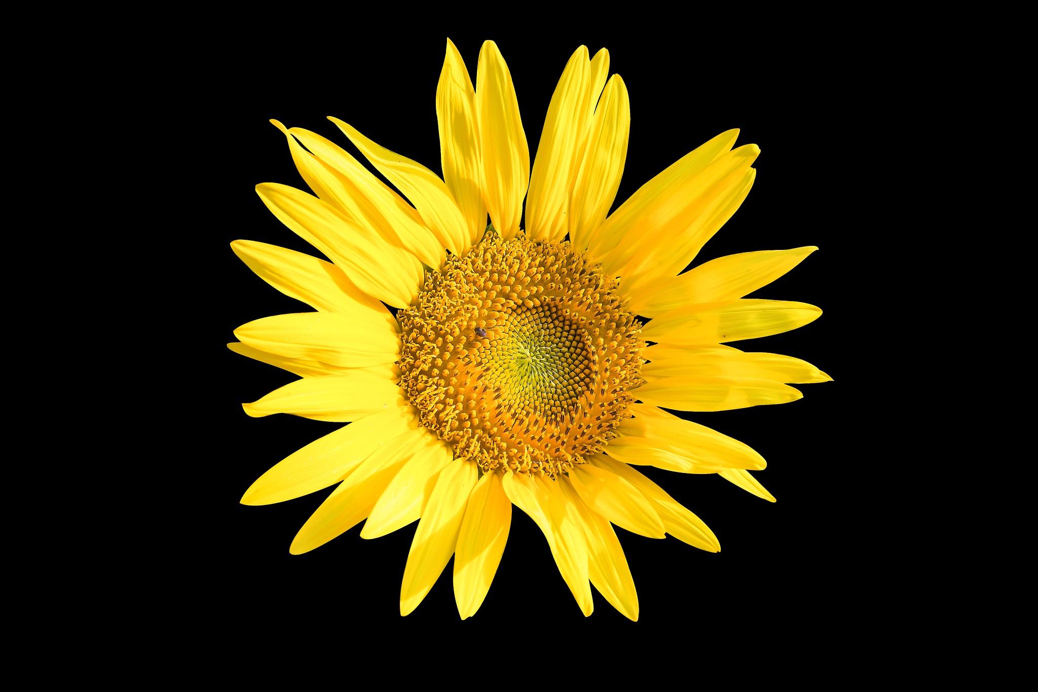 Sunflower On Black Background by Sumit