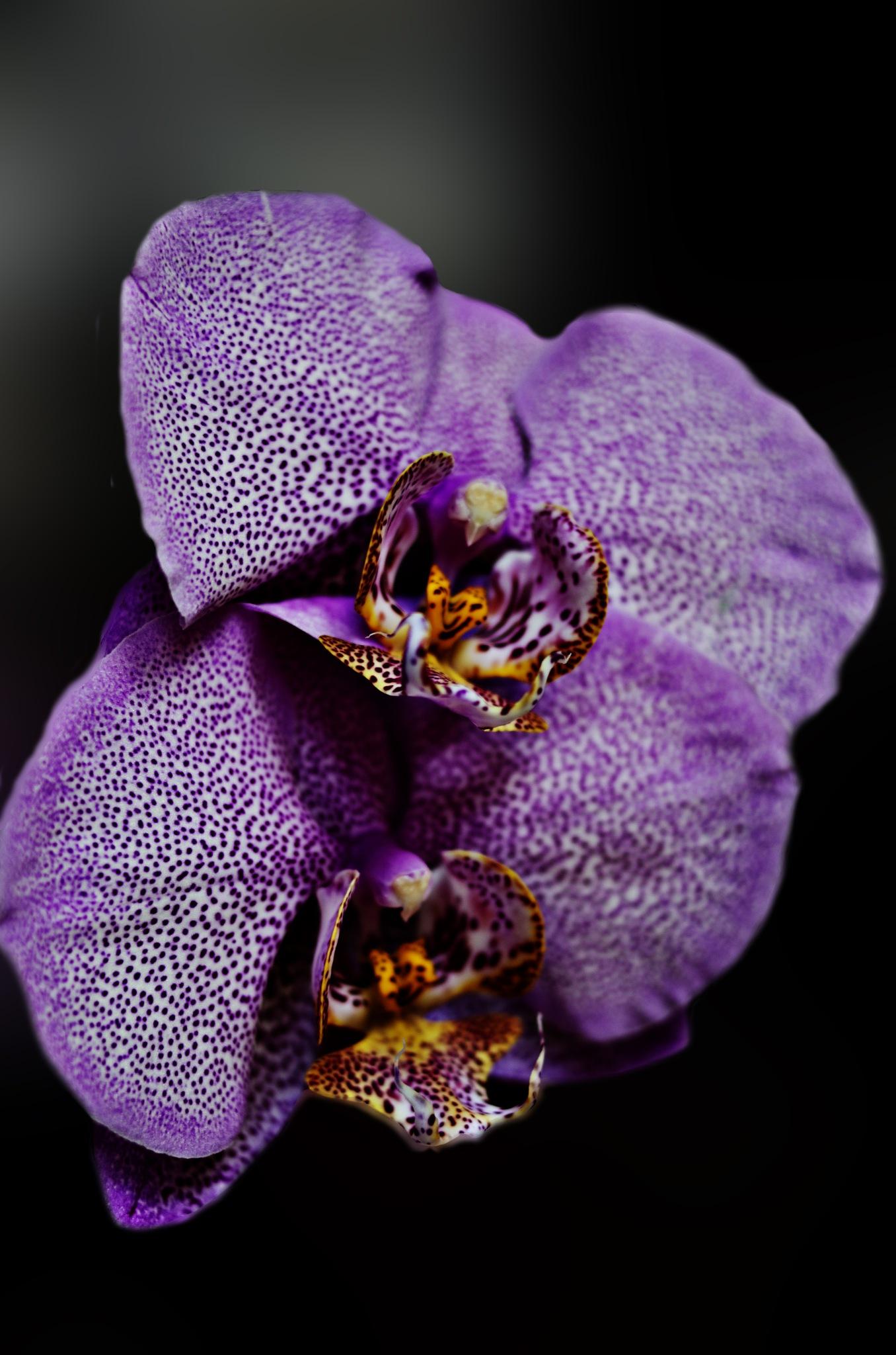 Orchidea by Claudio Losa