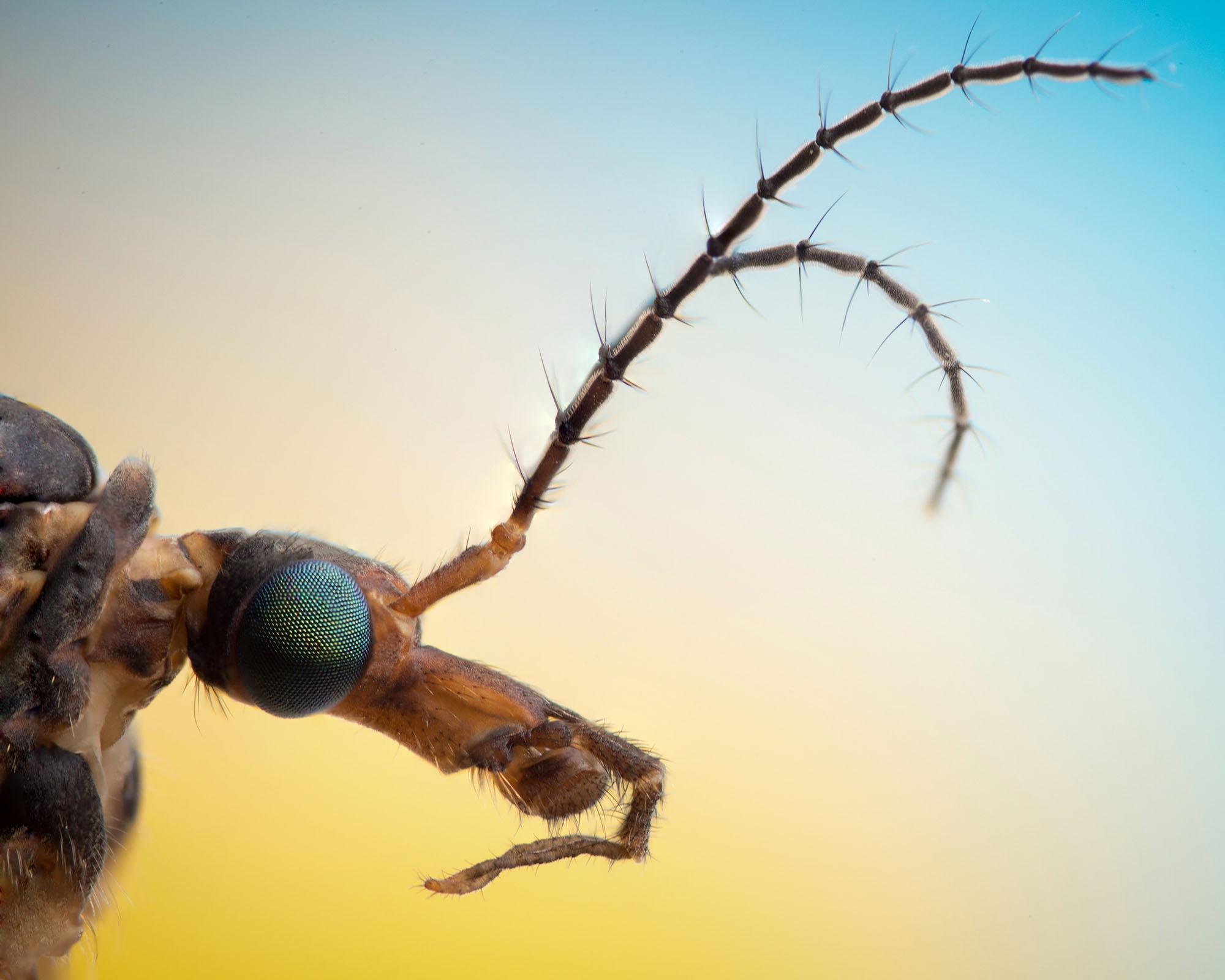 Crane Fly by Mindaugas Balčiauskas