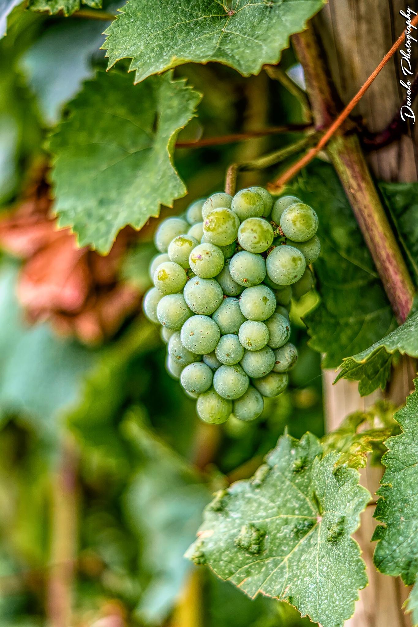 Grape Vineyard Saarburg by Davalo Photography