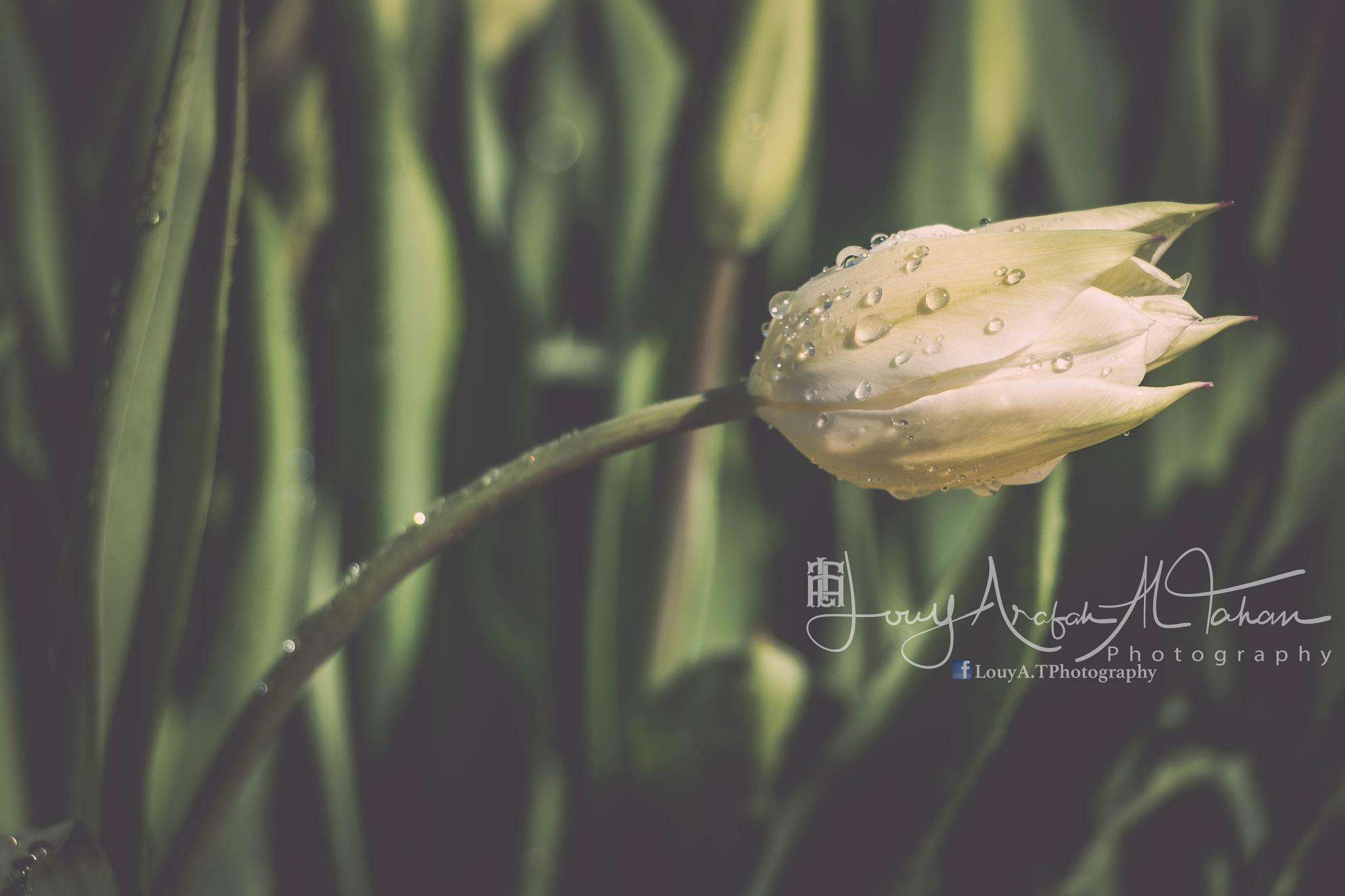 Tulip by Louy Arafah Al Tahan