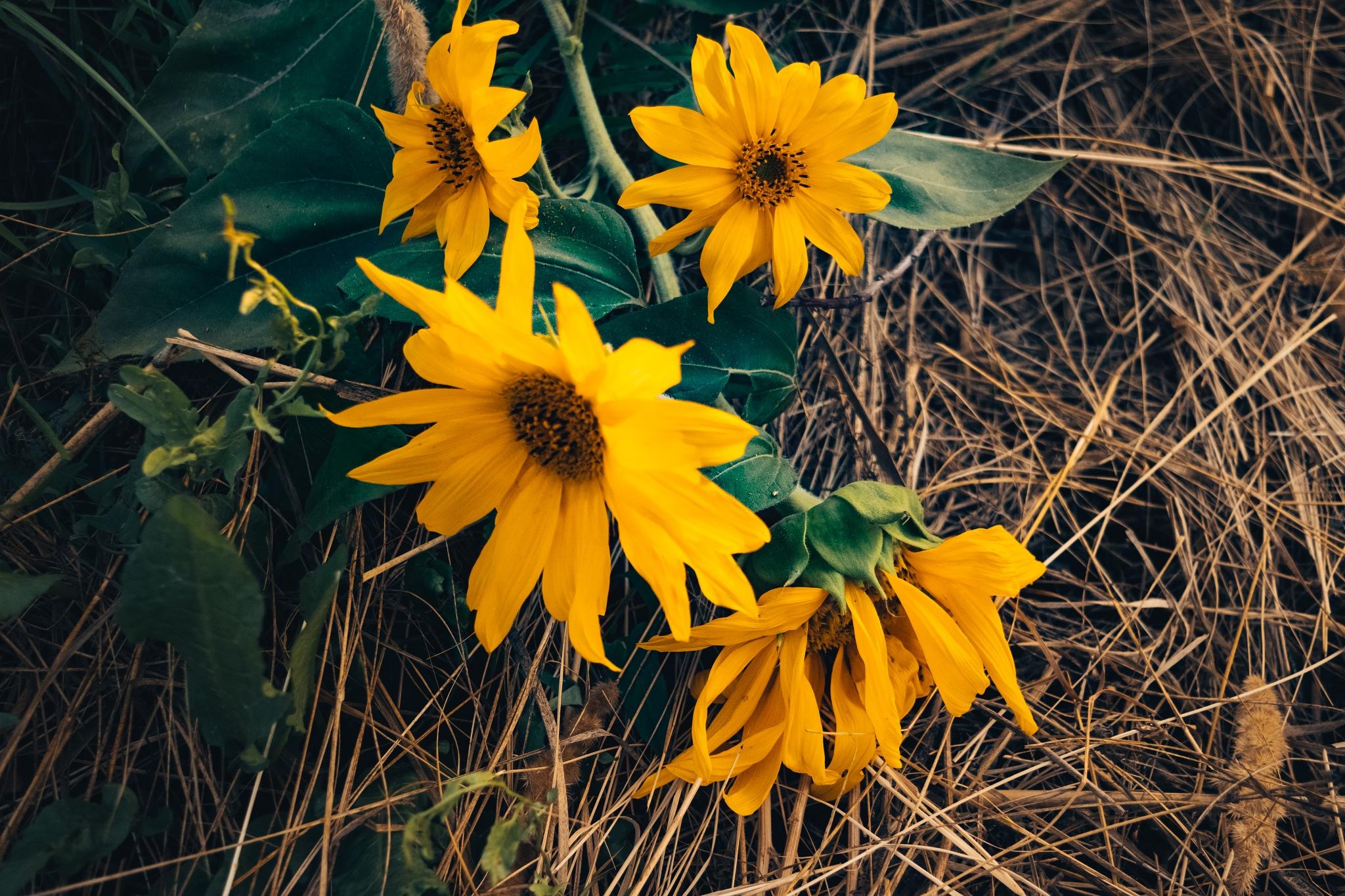 Sun flower by omid mozaffari