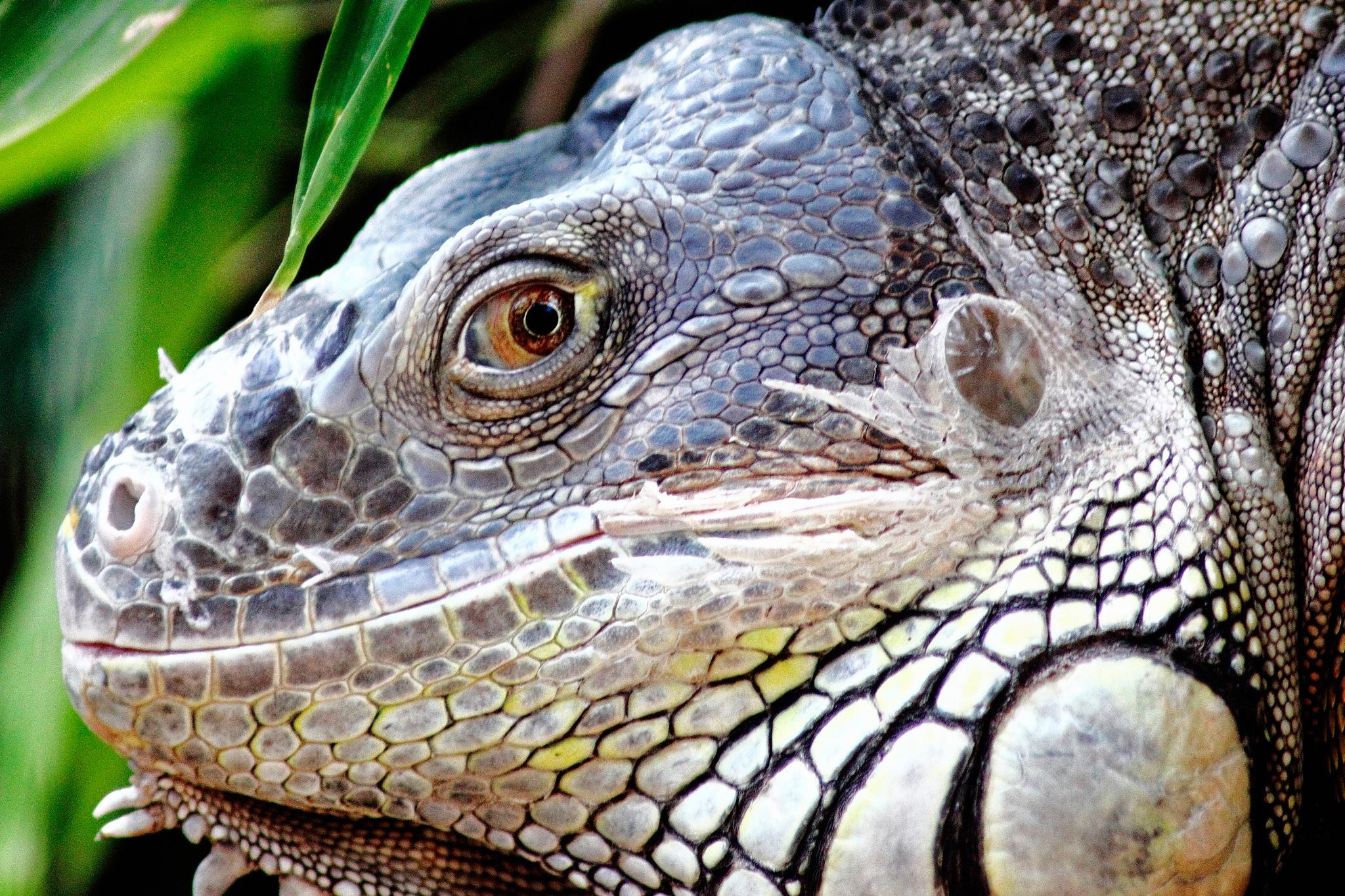 Iguana by Johnny Galloso