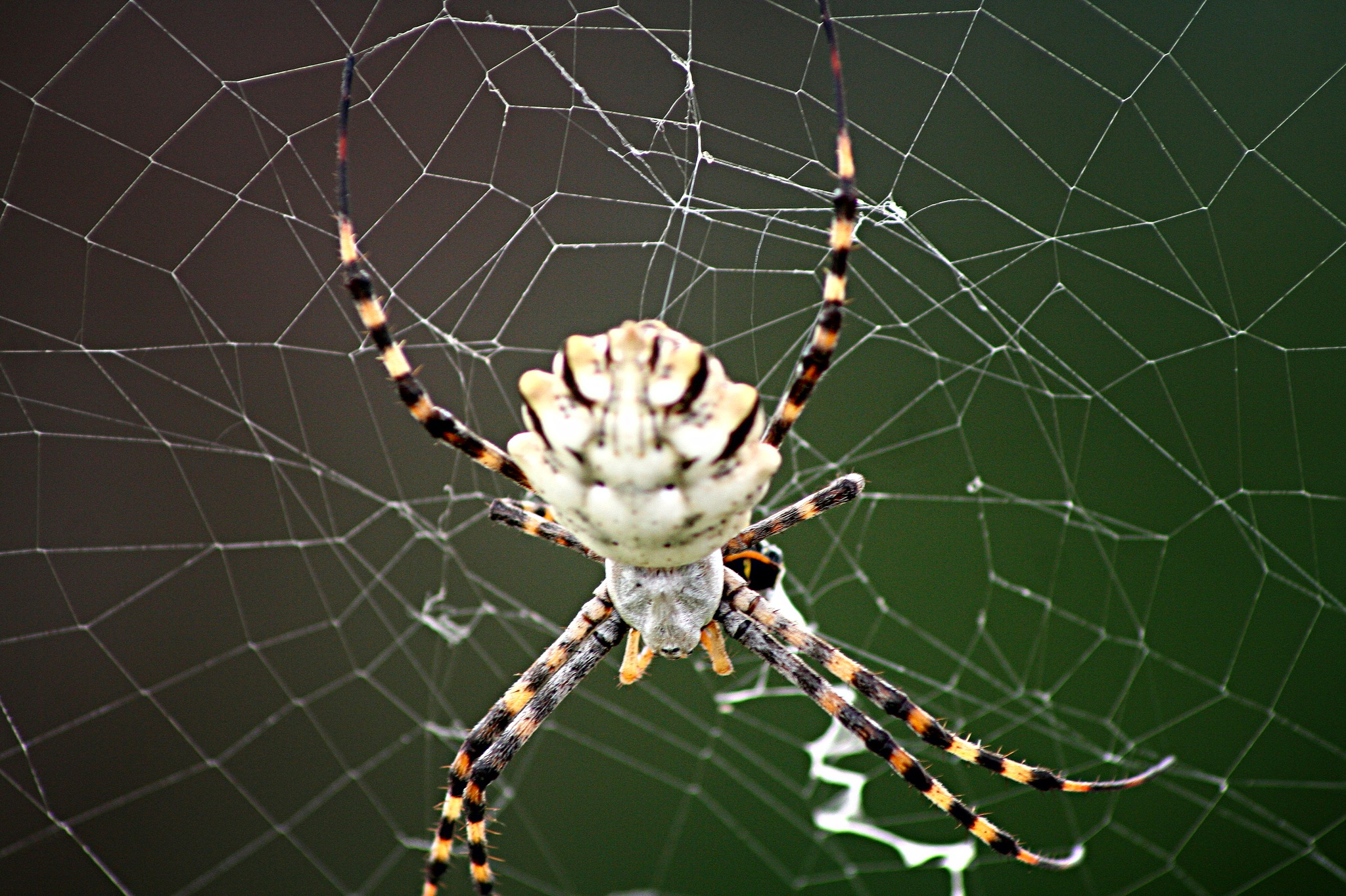 Spider by Johnny Galloso