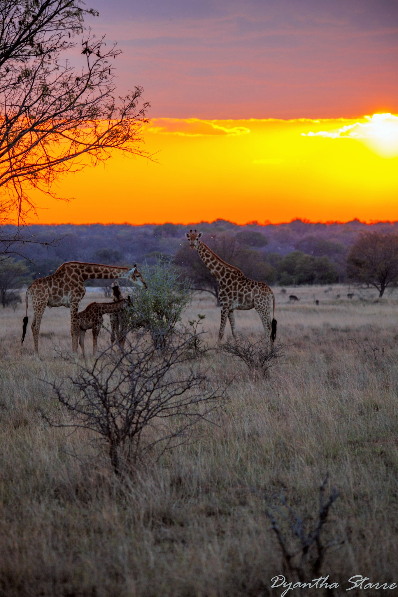 Giraffes at Sunset by Dyantha Starre
