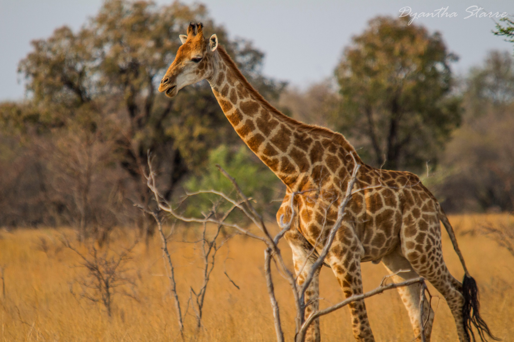Giraffe by Dyantha Starre