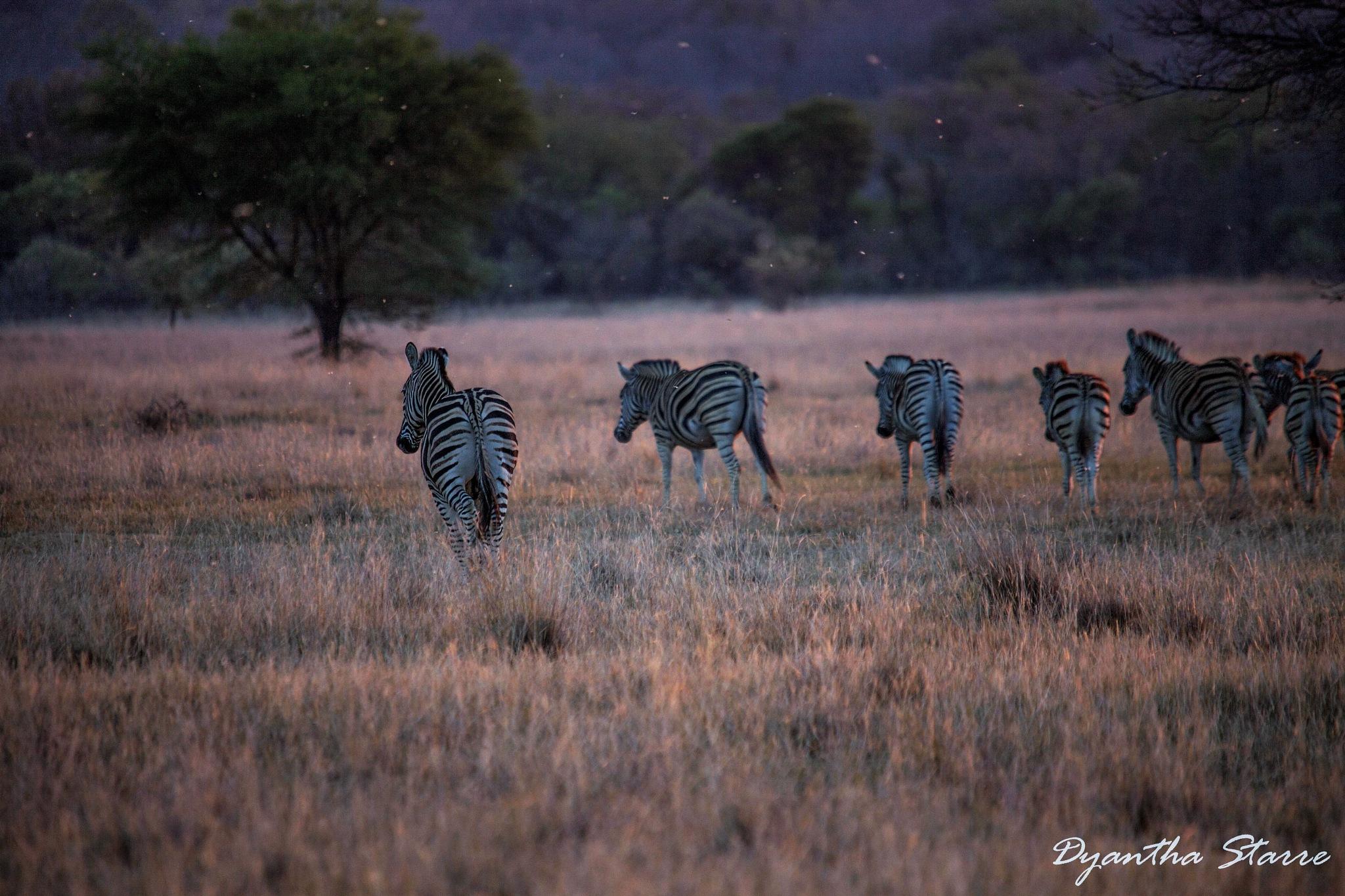 Zebra's by Dyantha Starre