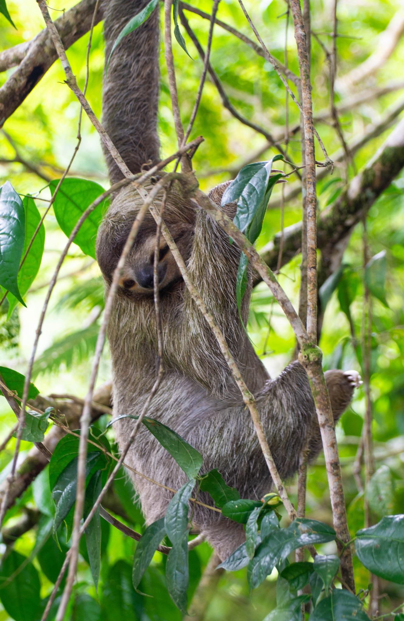 Three-toed sloth by sarahjane1971