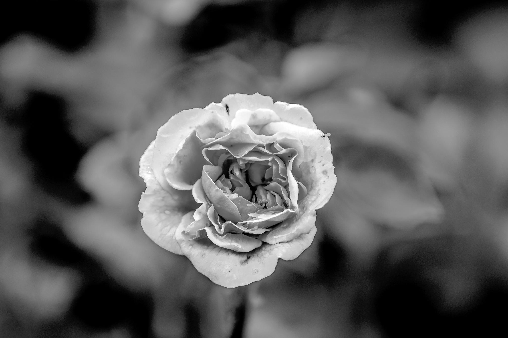 Rose 2 by Martyn