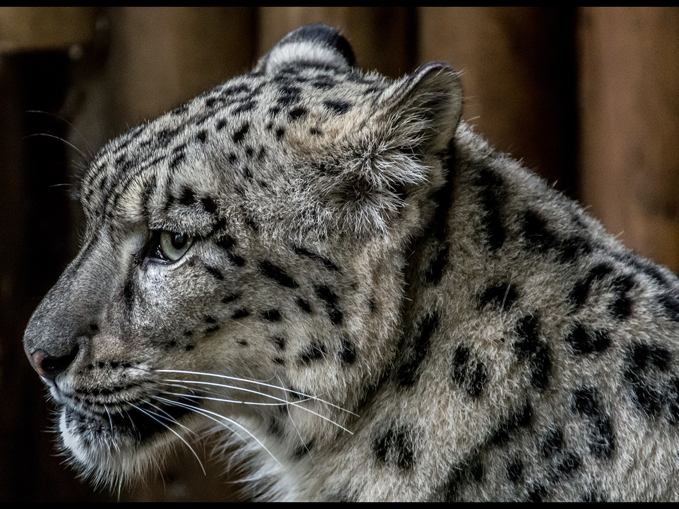 Snow leopard by Marc Grayland