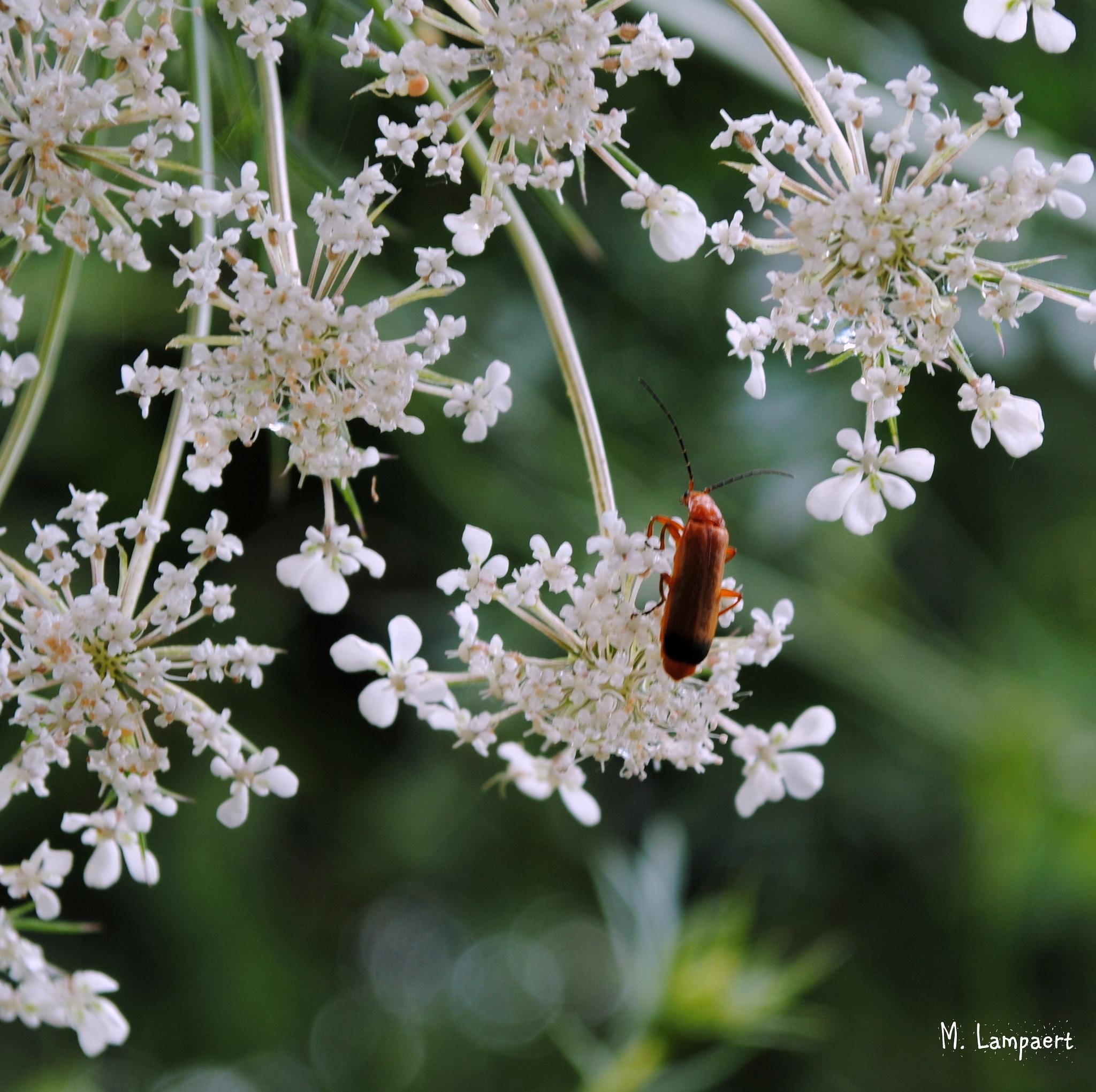 Kleine rode weekschildkever - common red soldier beetle - Rhagonycha fulva by MaudL