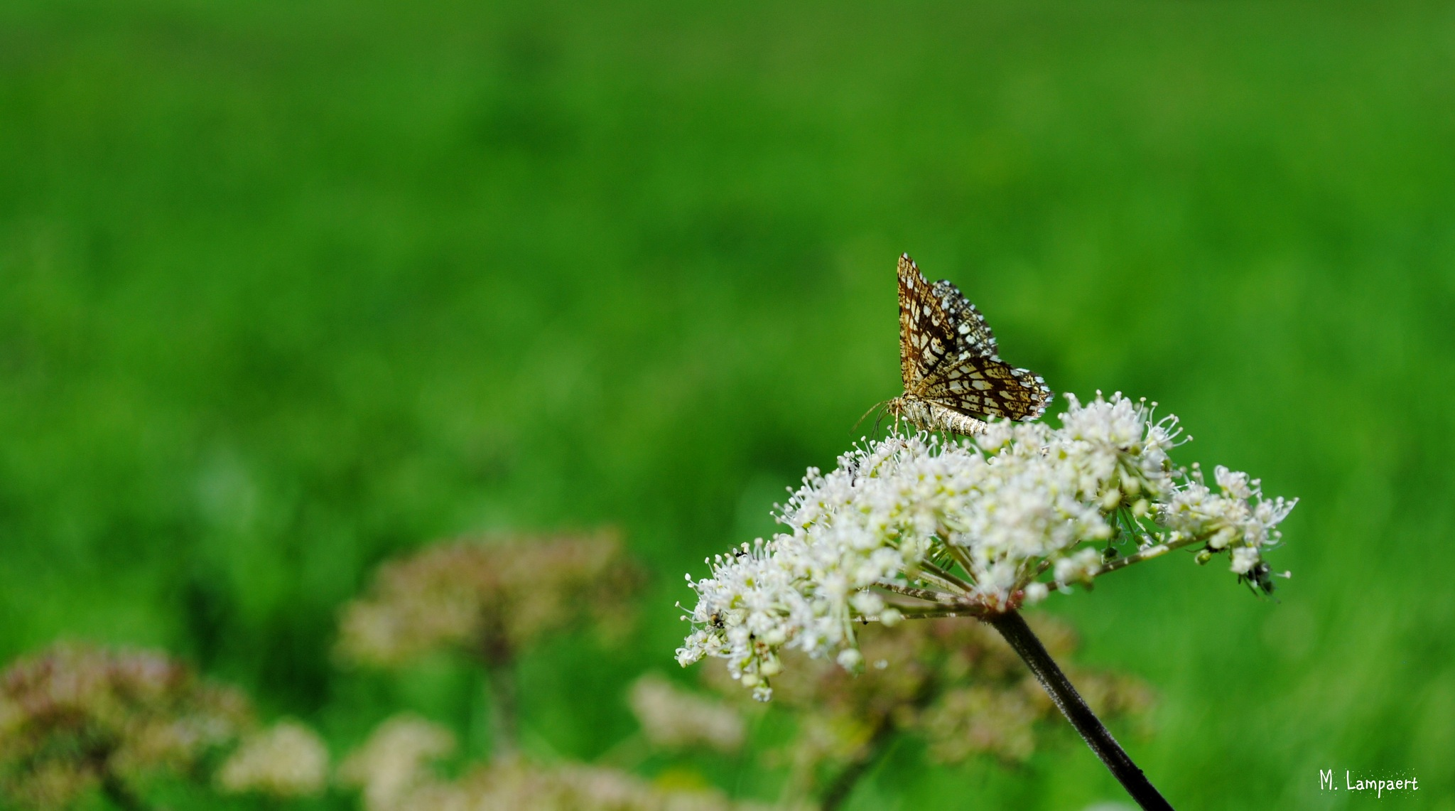 Klaverspanner - latticed heath - Chiasmia clathrata by MaudL