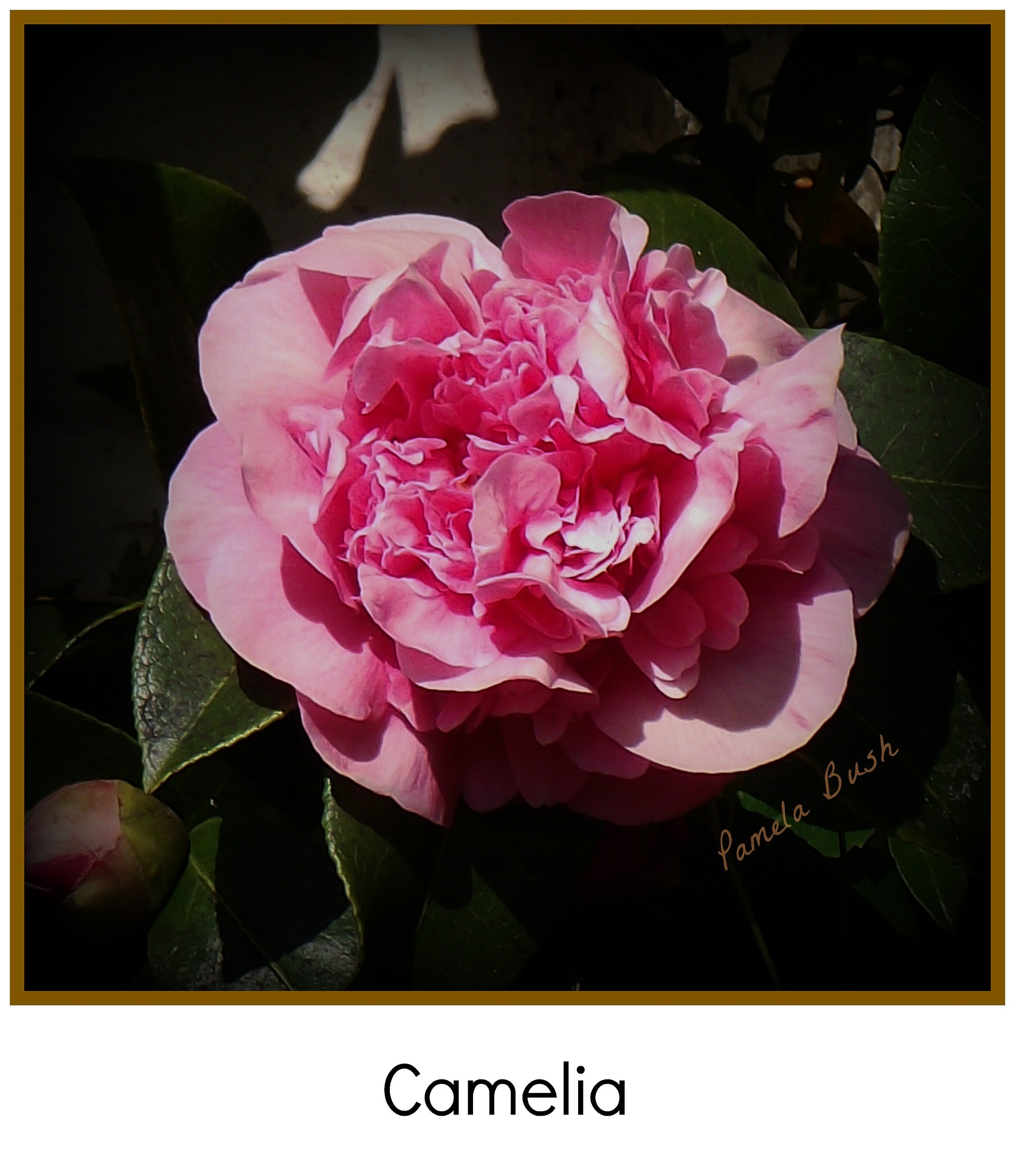 Camelia by Cumbria Ladd