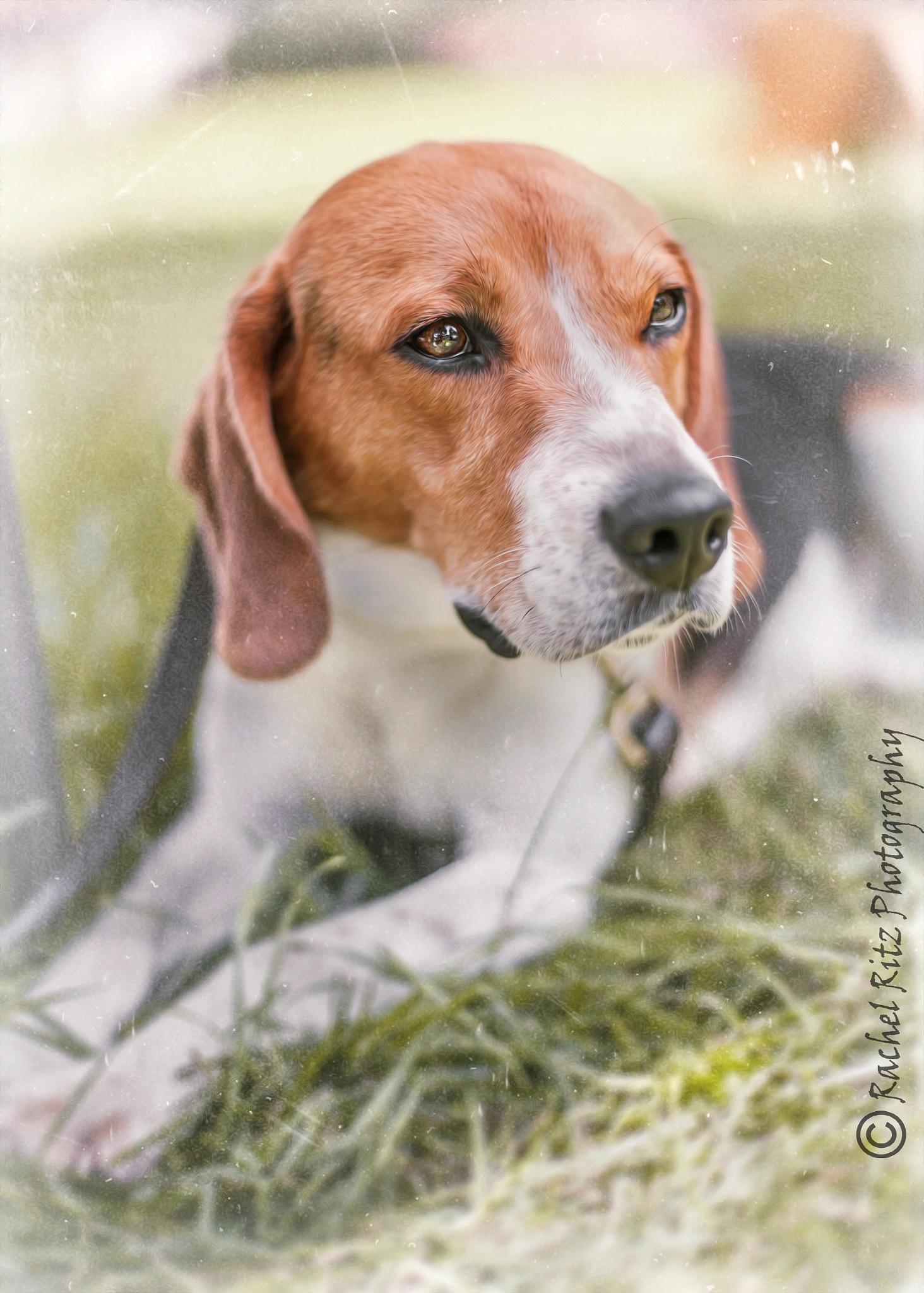 Majestic Beagle 2 by Rachel