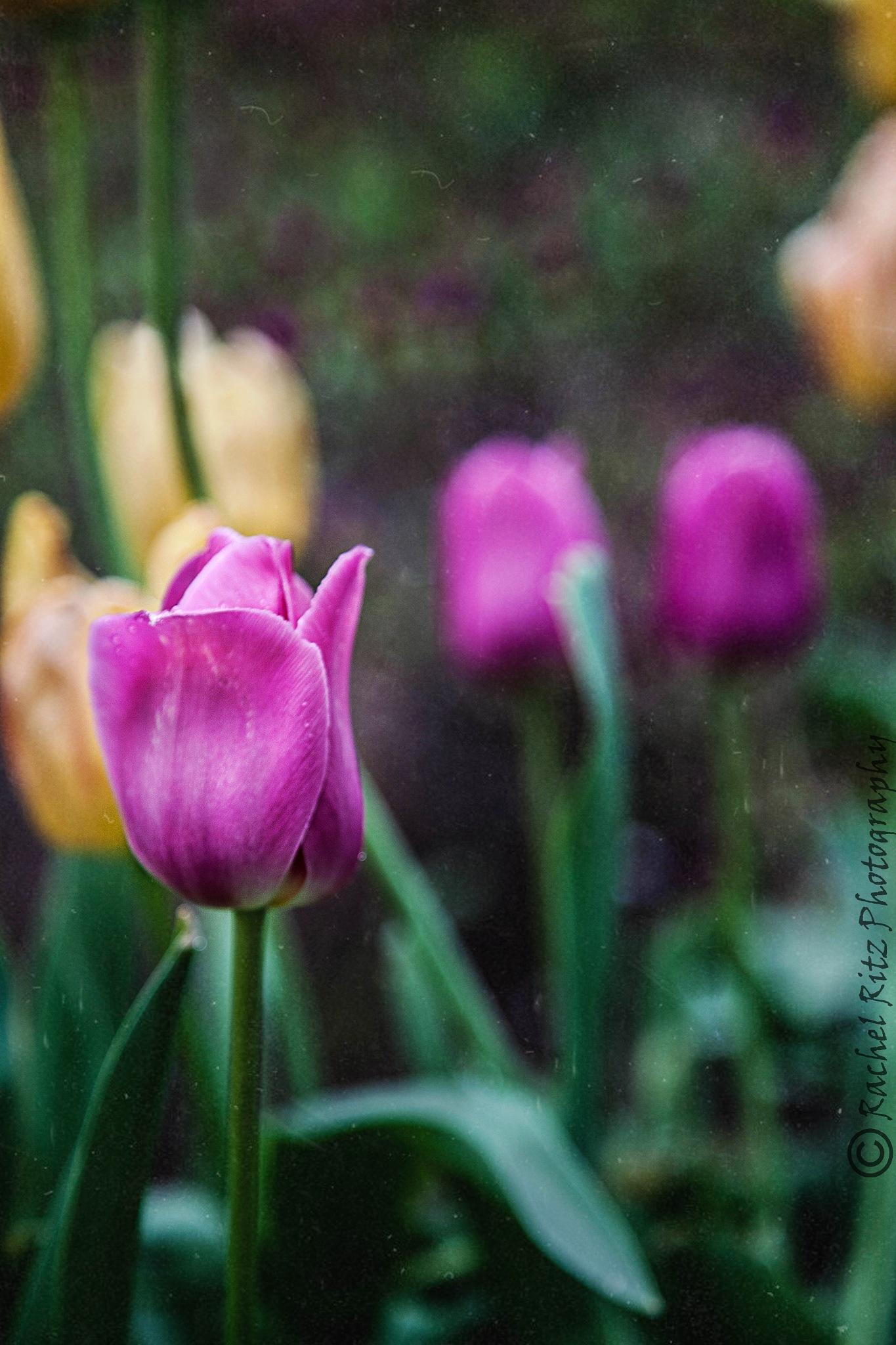 bunch of tulips by Rachel
