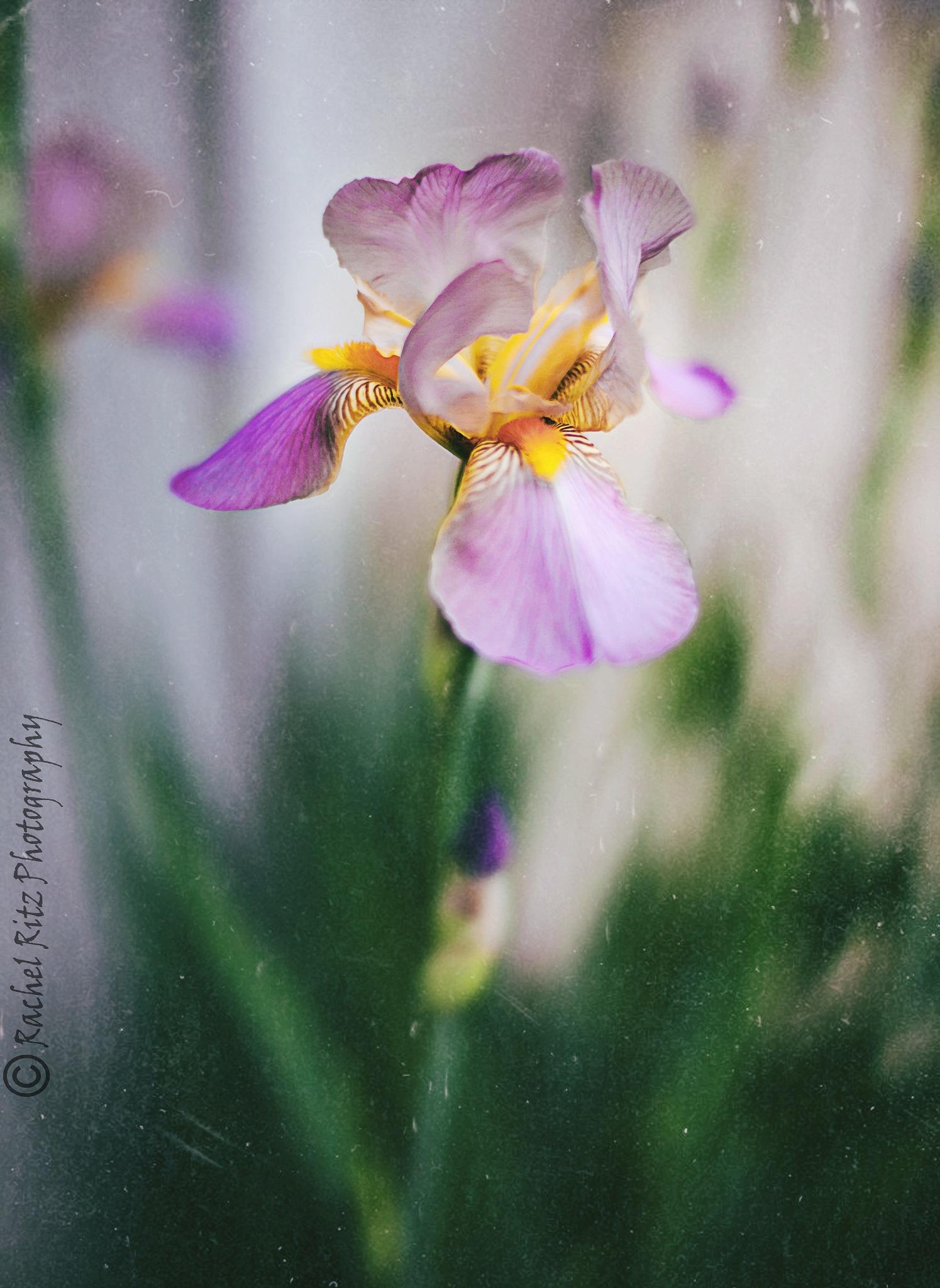 purple and yellow iris by Rachel