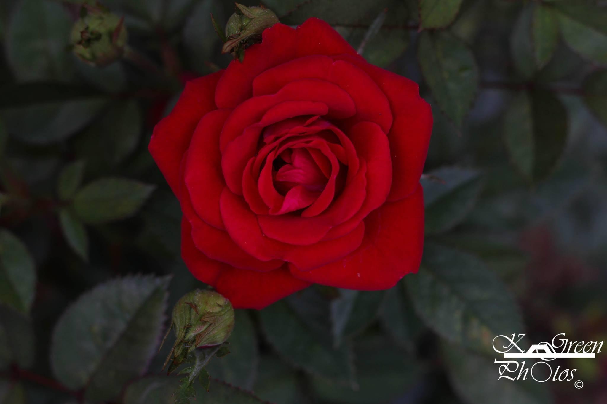 Rose by Kayla Hazelip