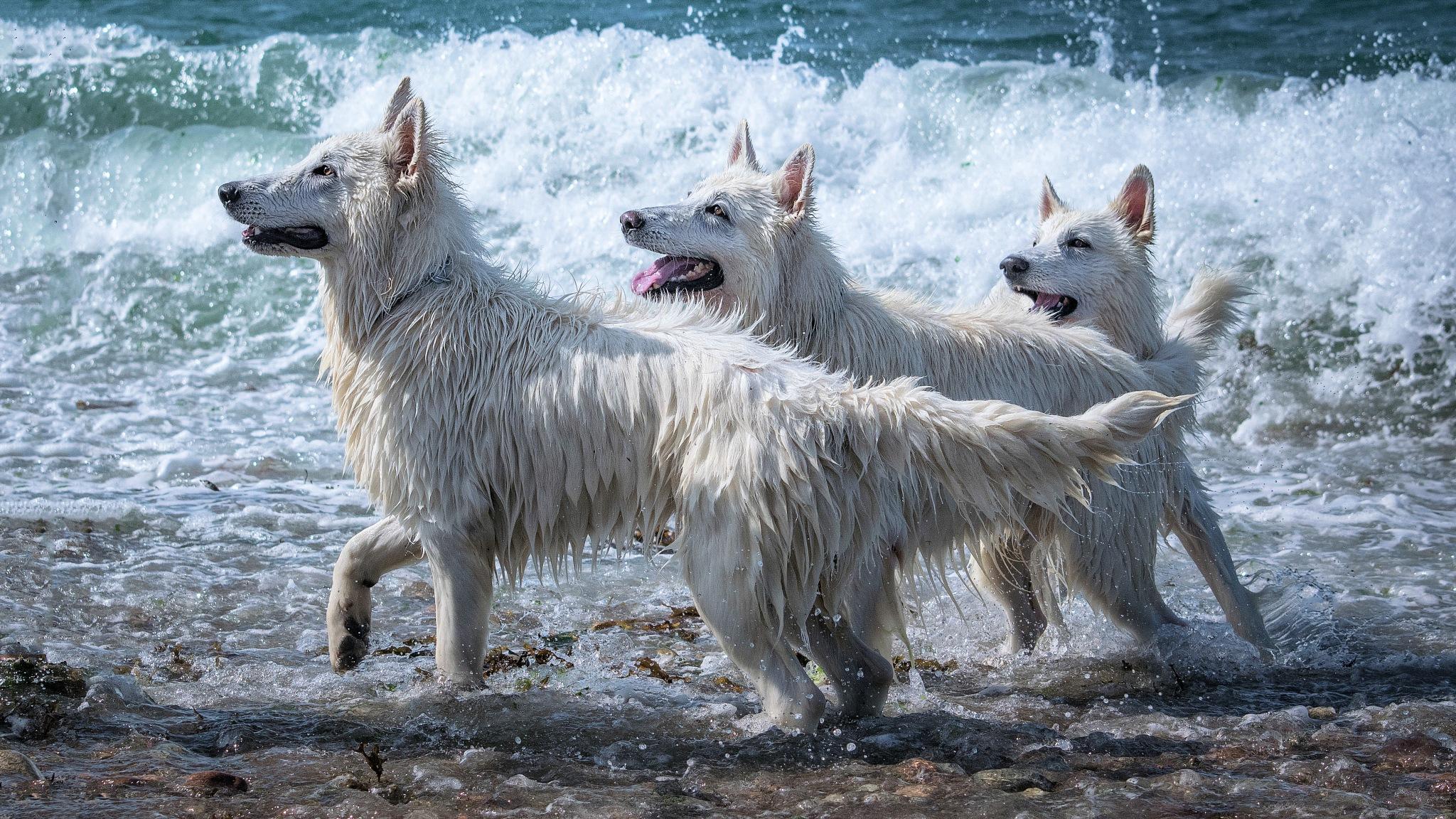 Trio de bergers blancs suisses by LOURS Bernard