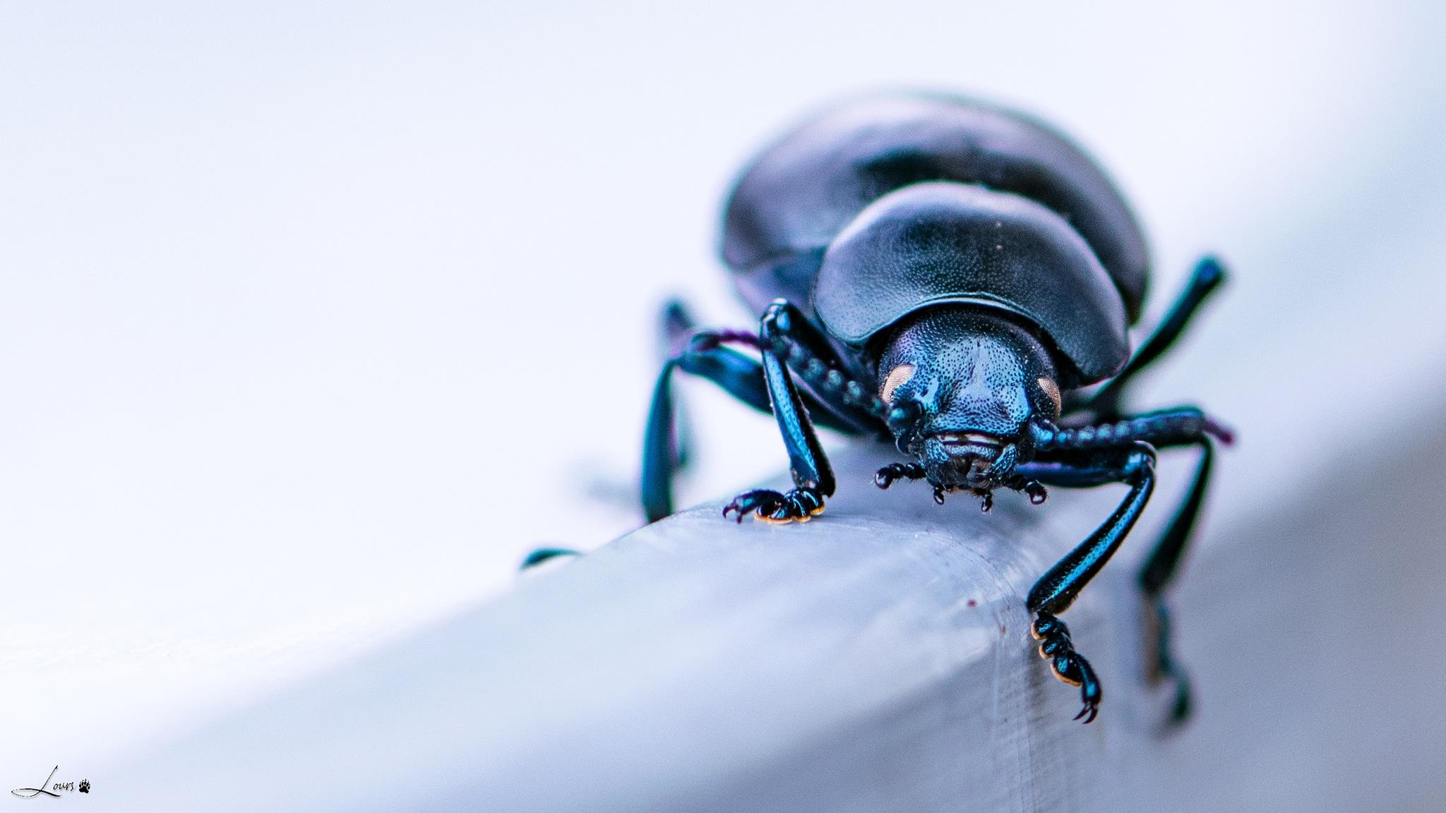 Le bousier bleu by LOURS Bernard