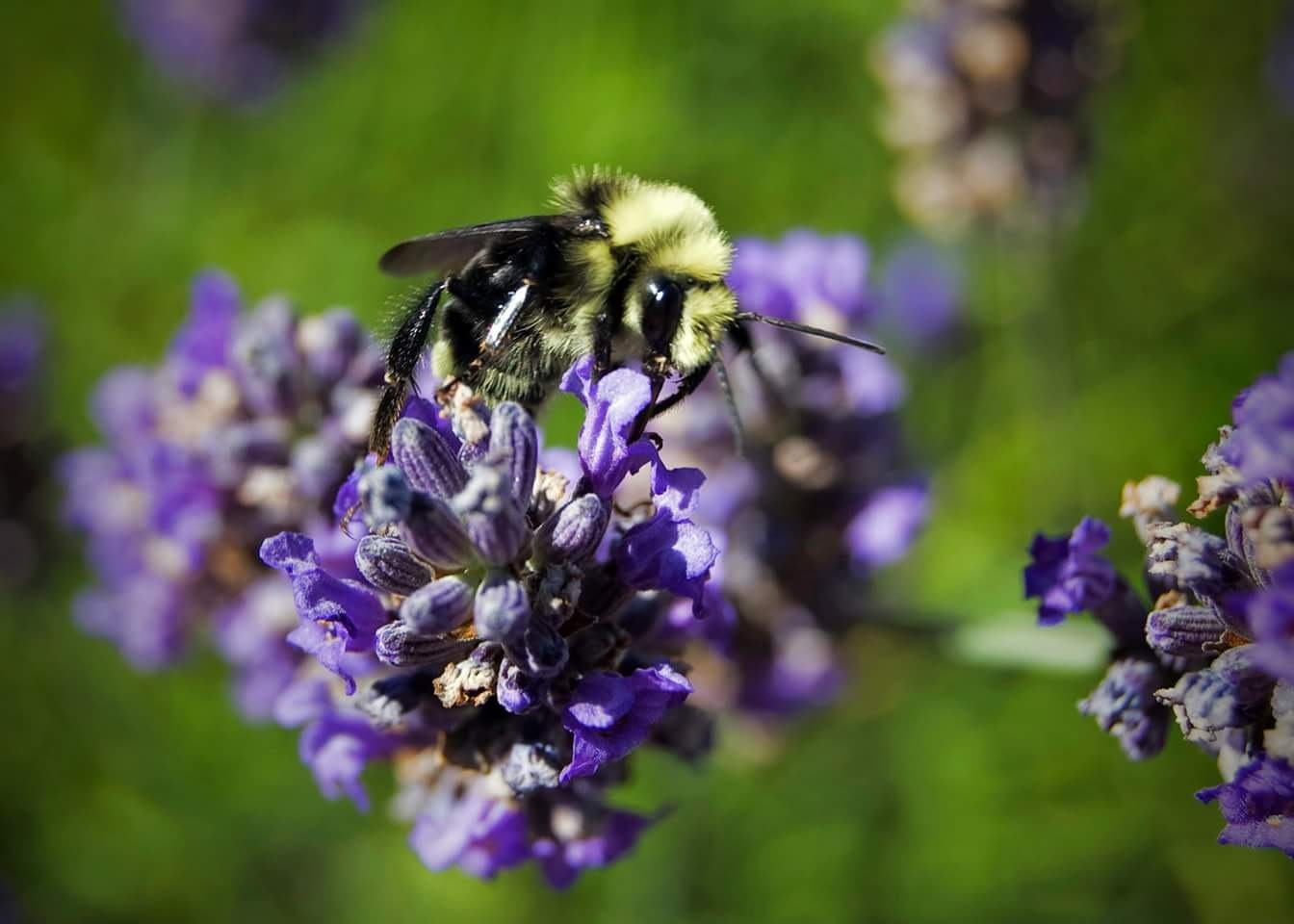 Bee in Lavendar, 2010 by Colleen Ronkar
