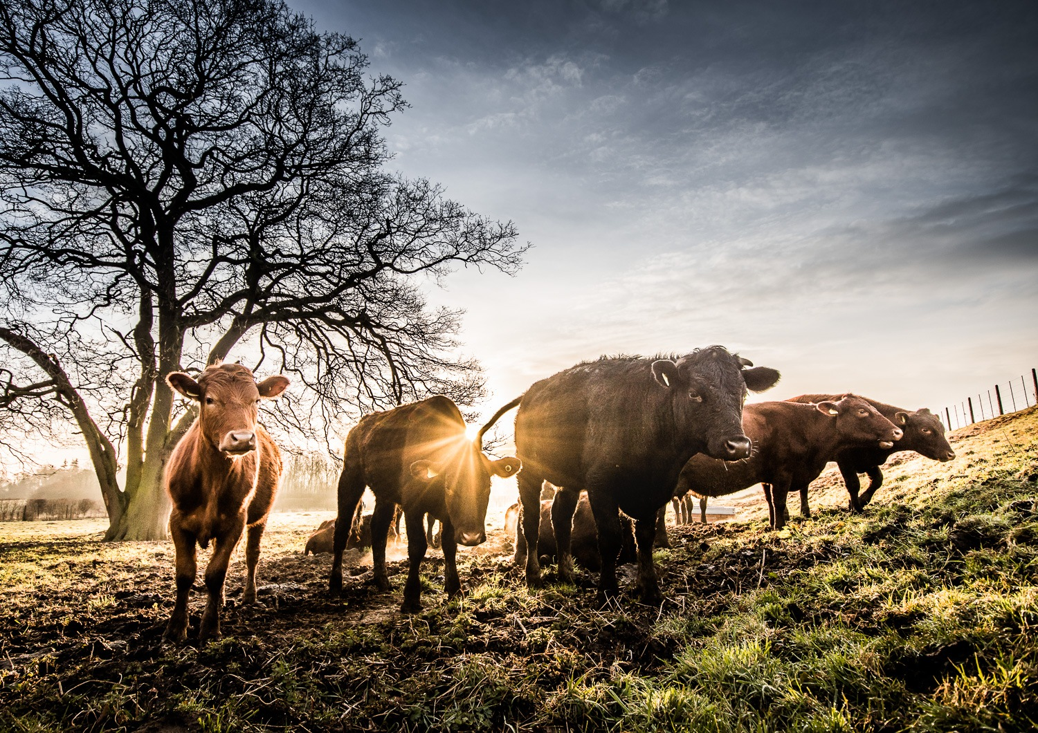 Don't mess with the cows! by Nick Ward