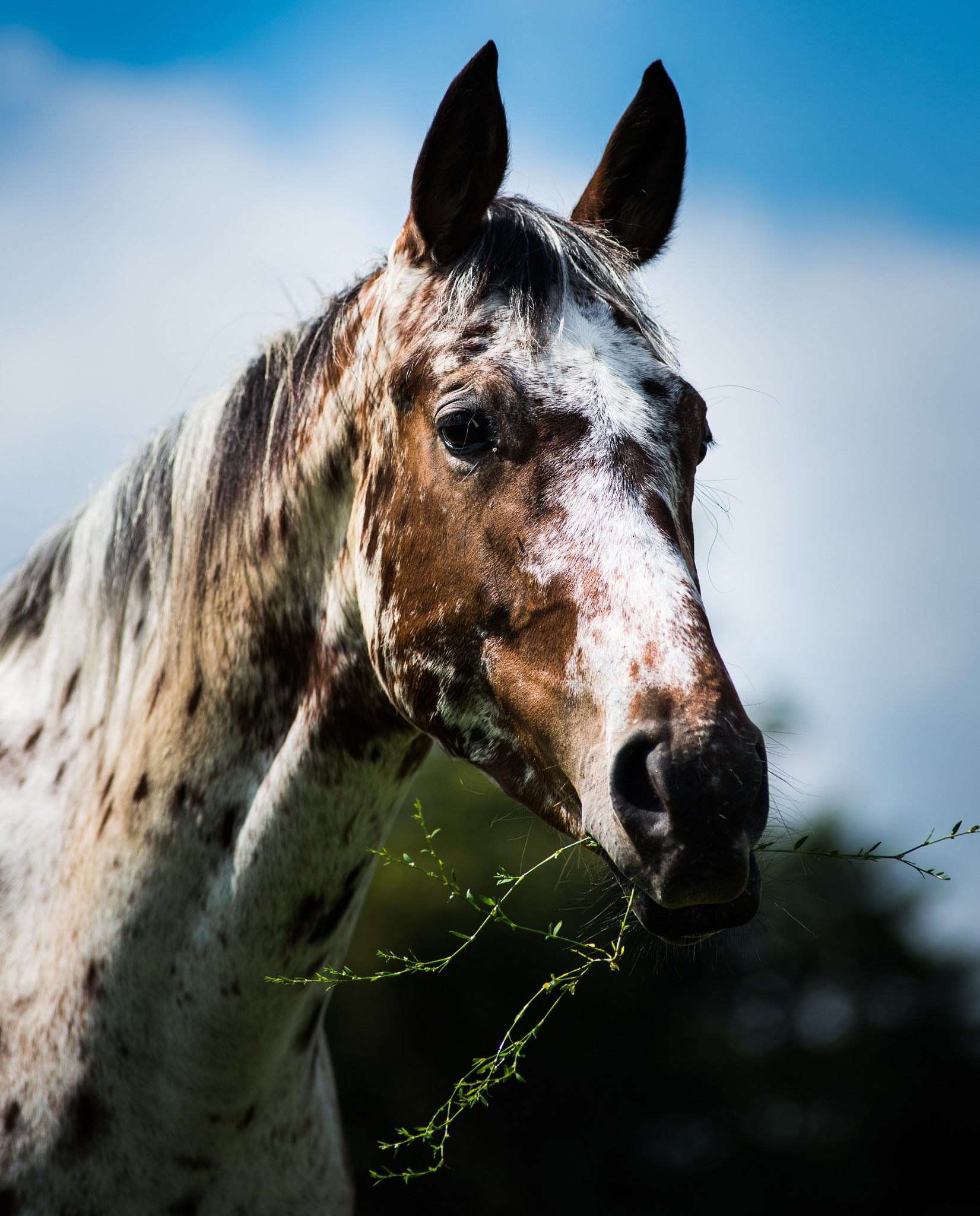 Appaloosa Horse by Nick Ward